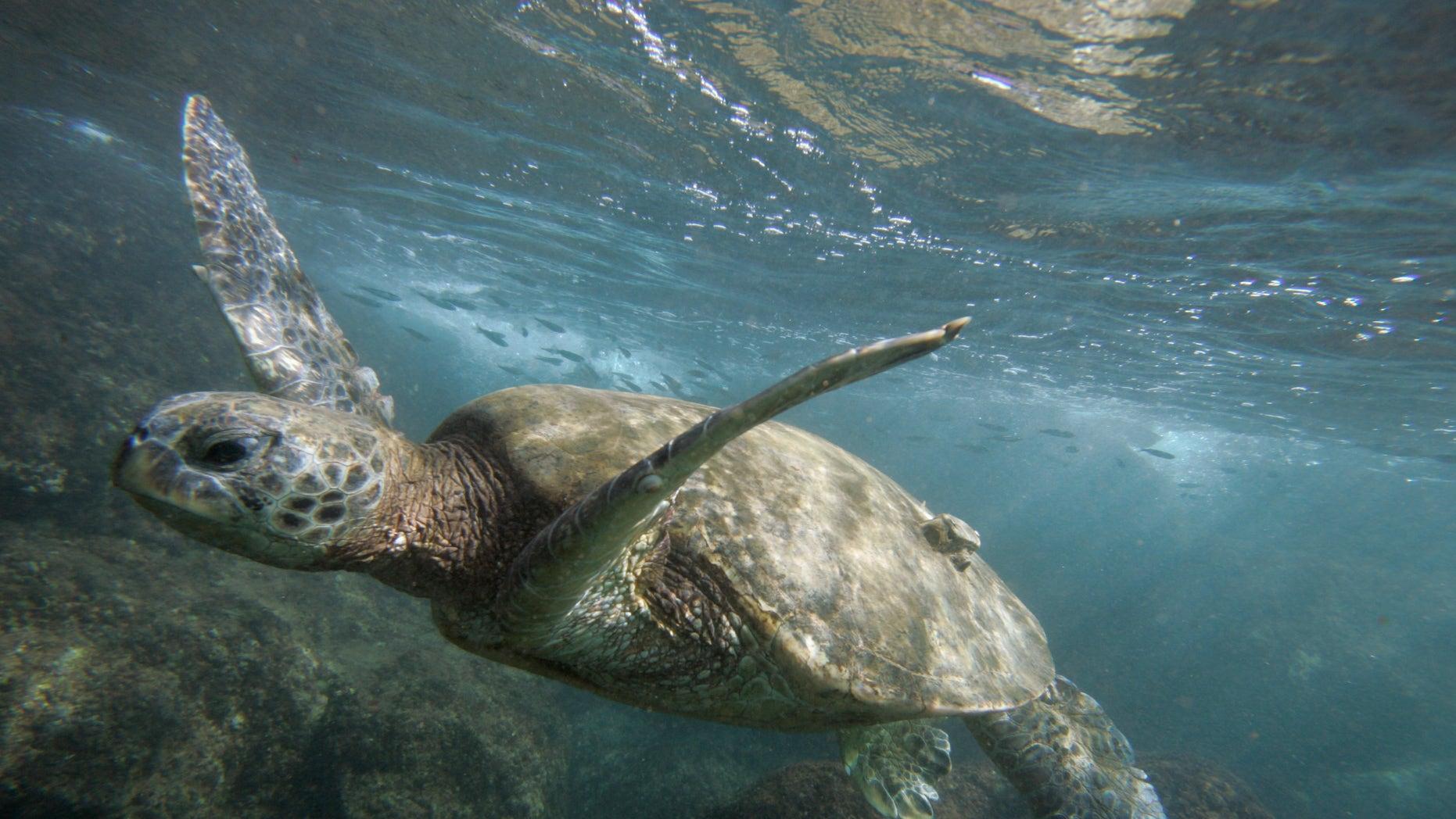 A green sea turtle is seen off the coast of Oahu, Hawaii.