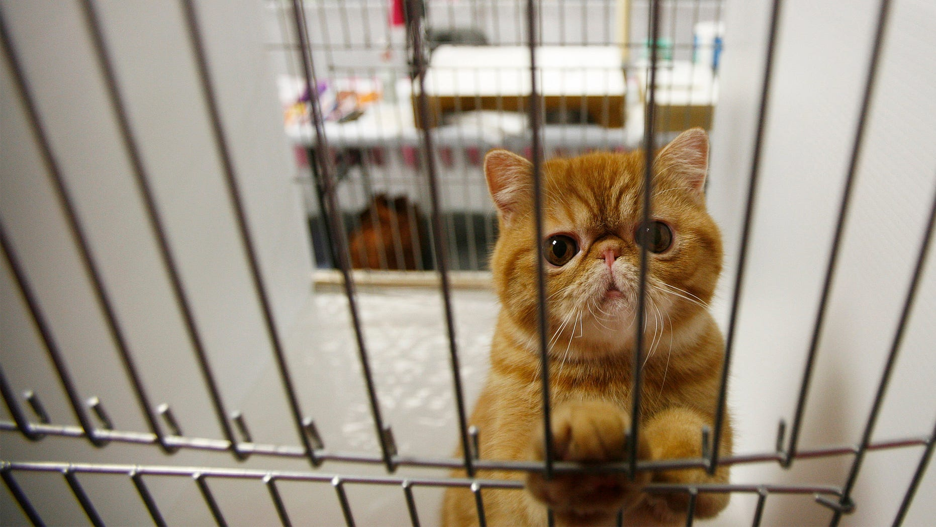 A Tabby cat awaits judging in a cage during the Cat Fanciers' Association - Iams cat championship show in New York October 13, 2007. REUTERS/Lucas Jackson  (UNITED STATES) - RTR1UVTT