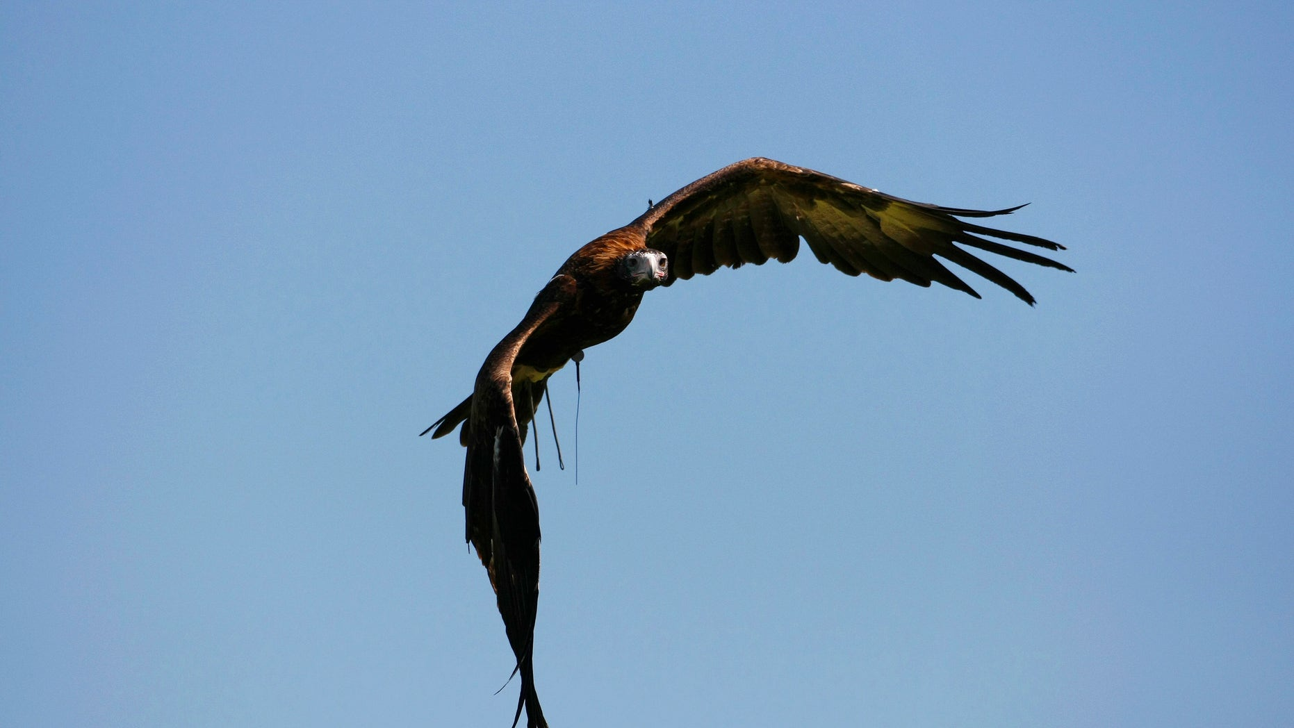 File photo: a wedge-tailed eagle from Sydney's Taronga Zoo, named Nonami, makes a training flight December 16, 2008.
