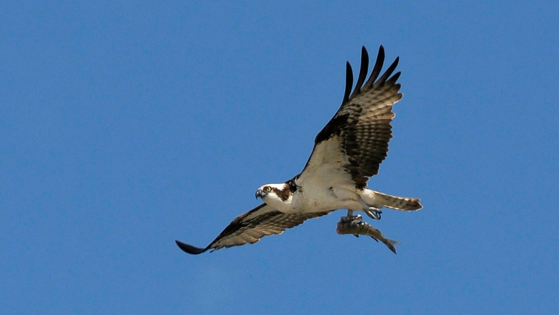 File photo - An adult Osprey flies with a fish in its talons in Cochrane, Alberta in 2010.