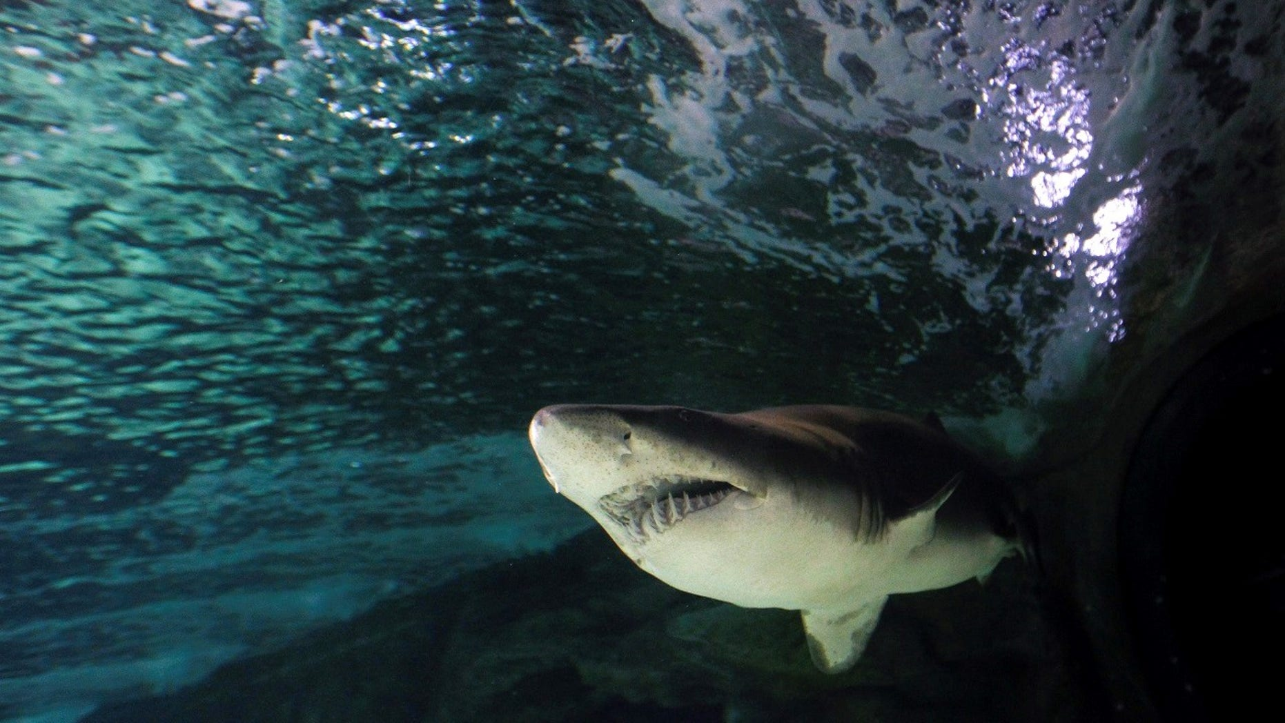 A British diver said a tiger shark stalked him while he swam four miles to short in Western Australia.