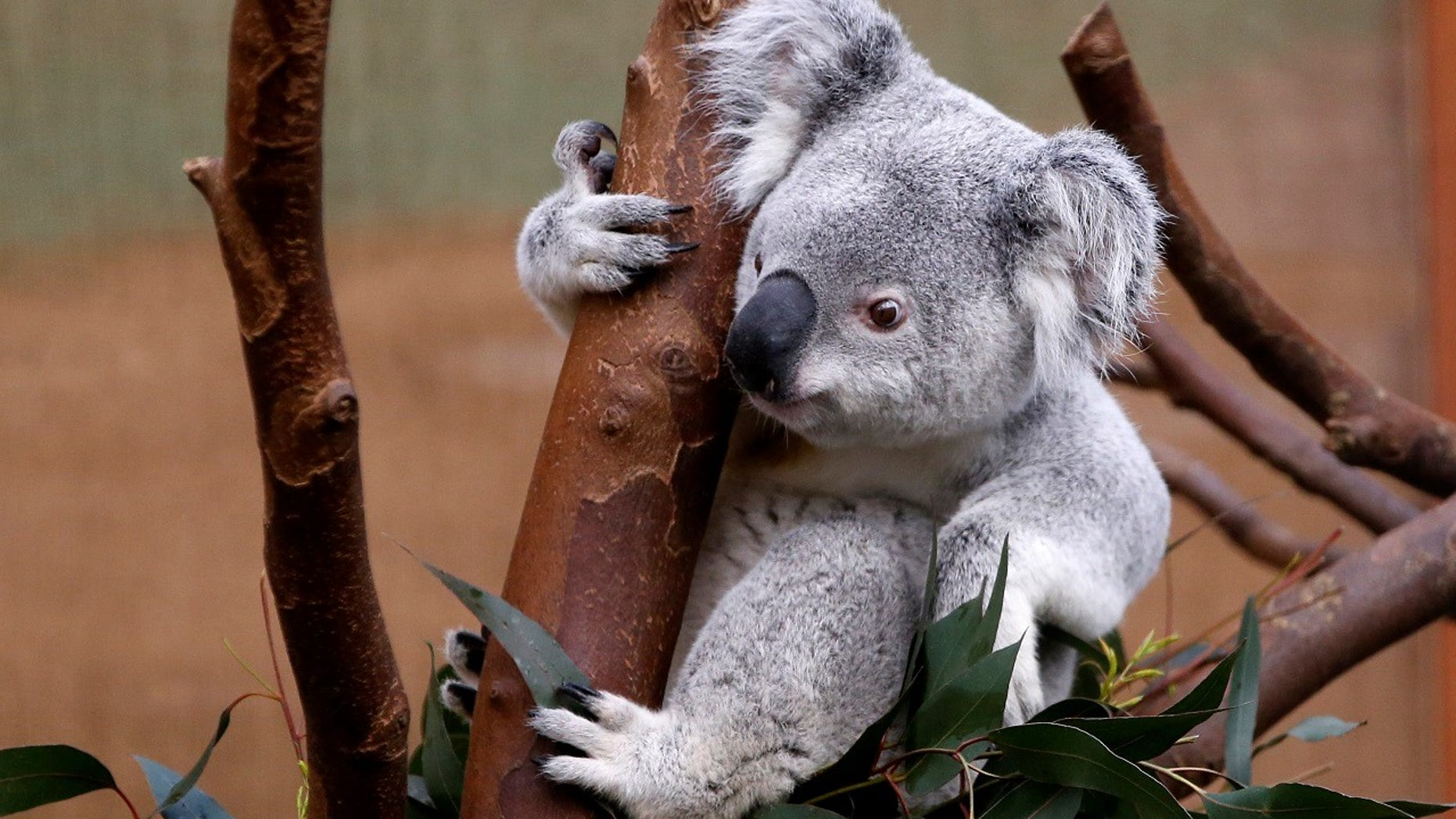 """A koala (not pictured) was found """"cruelly attached"""" to a wooden post at an Australian park on Wednesday, leading police to investigate who killed the marsupial."""