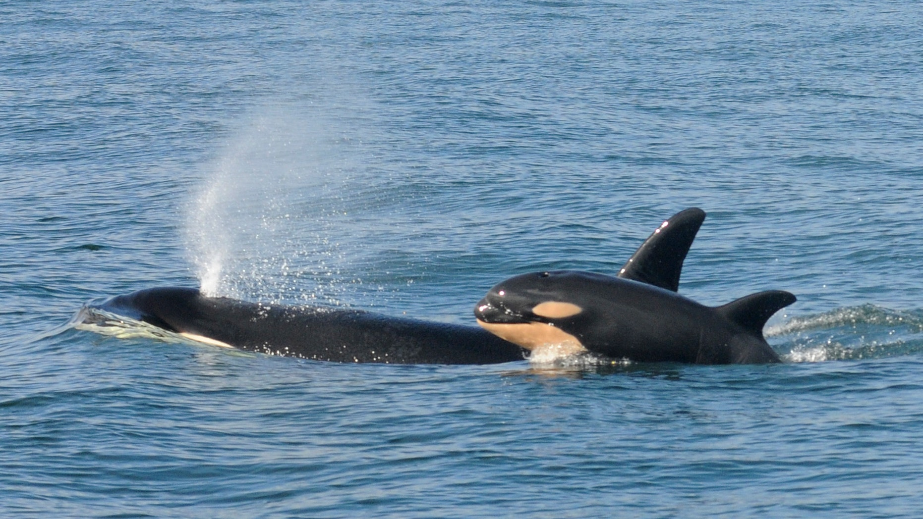 File photo. A female killer whale and her newborn calf are seen February 26, 2015 in this handout photo provided by NOAA in Grays Harbor near Westport, Washington.