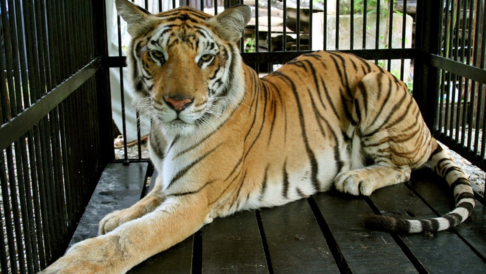 None of the tigers were injured in the crash.