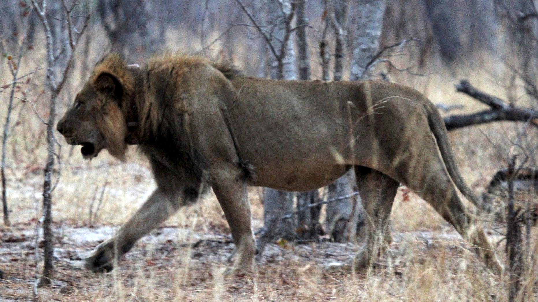 A lion in its enclosure. (Reuters)