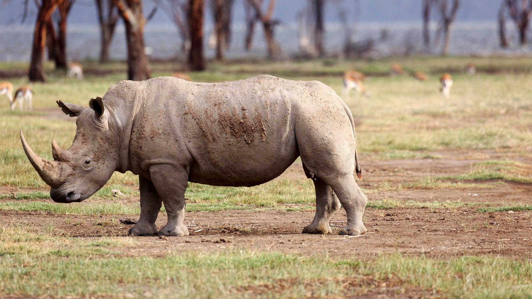 Aug. 20, 2015: White rhino grazes at Lake Nakuru National Park, Kenya. (Reuters)