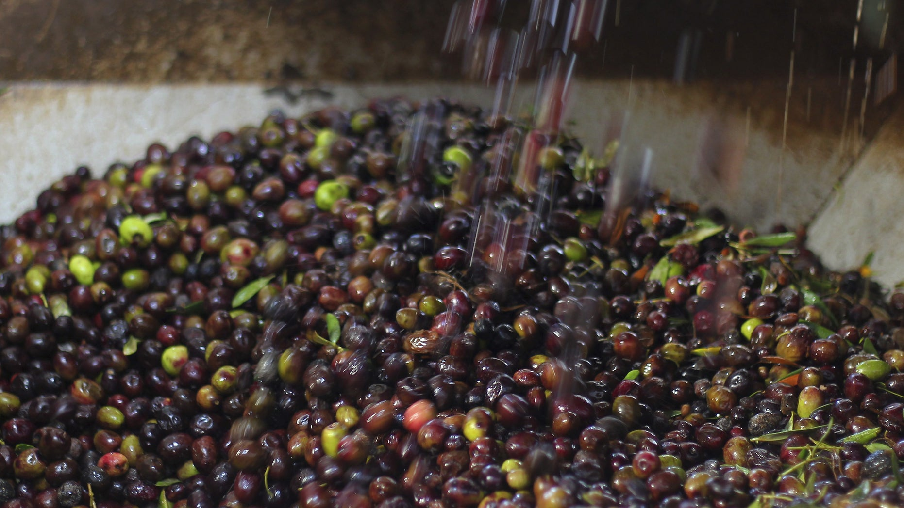 Olives are poured into a grinding machine before they are pressed to be made into oil.