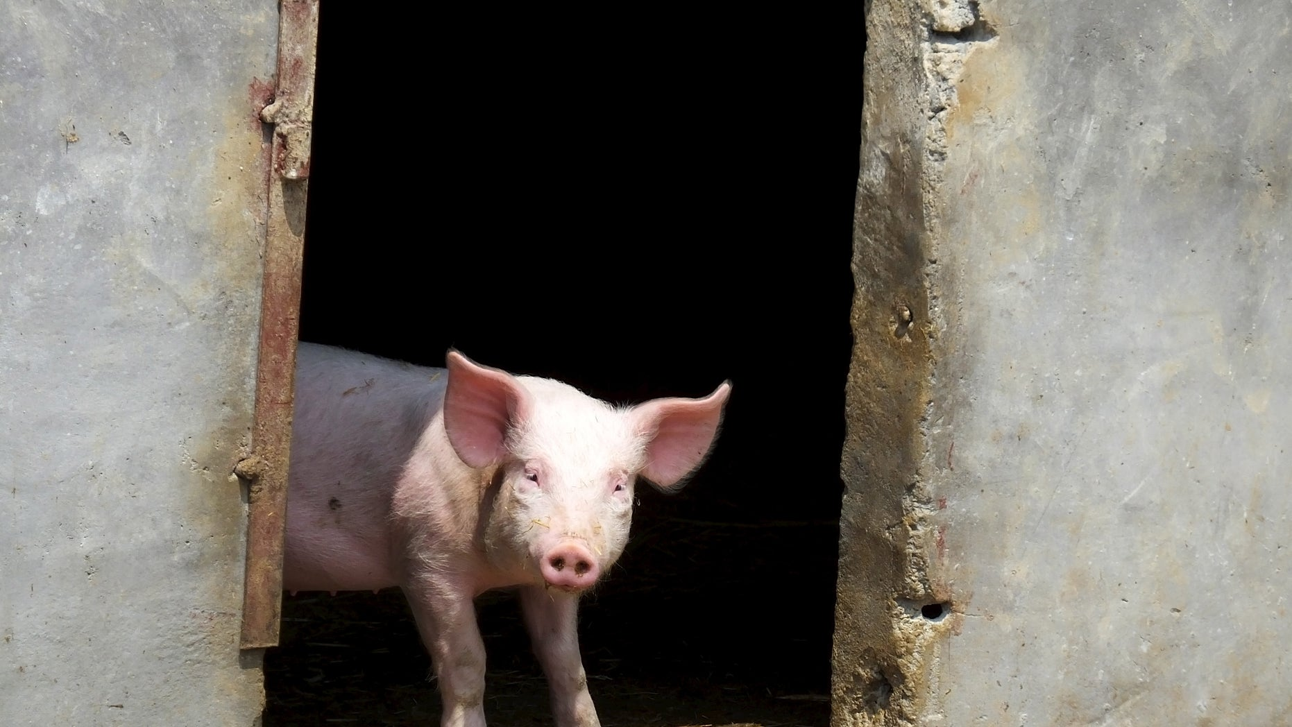 A pig stands in a doorway. (Reuters)