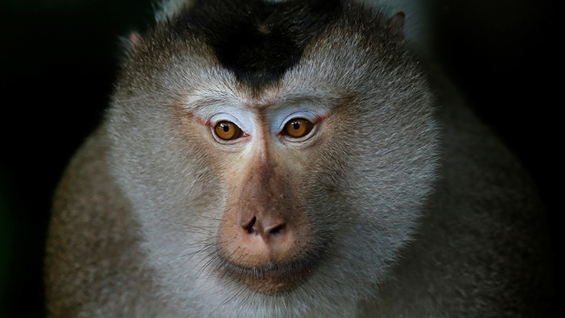 A macaque in Khao Yai national park in Thailand.