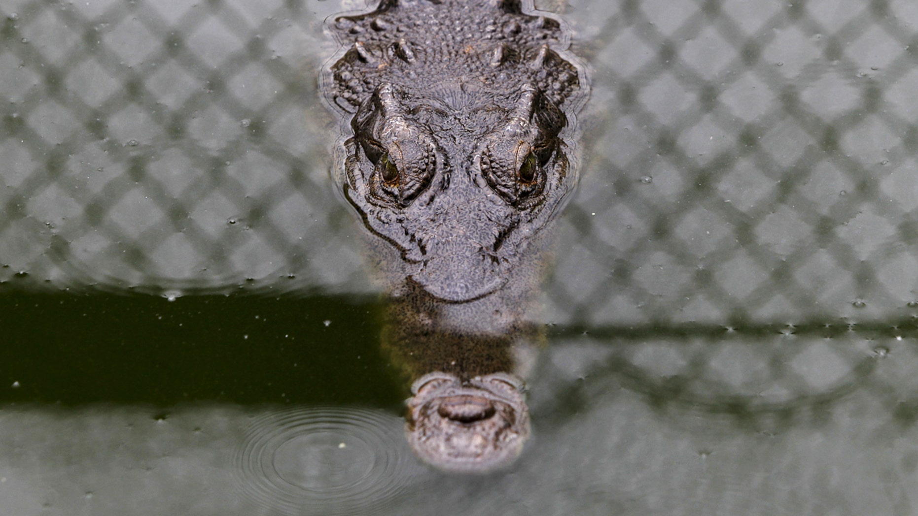 The tourist was said to be fighting for his life after the crocodile attack.