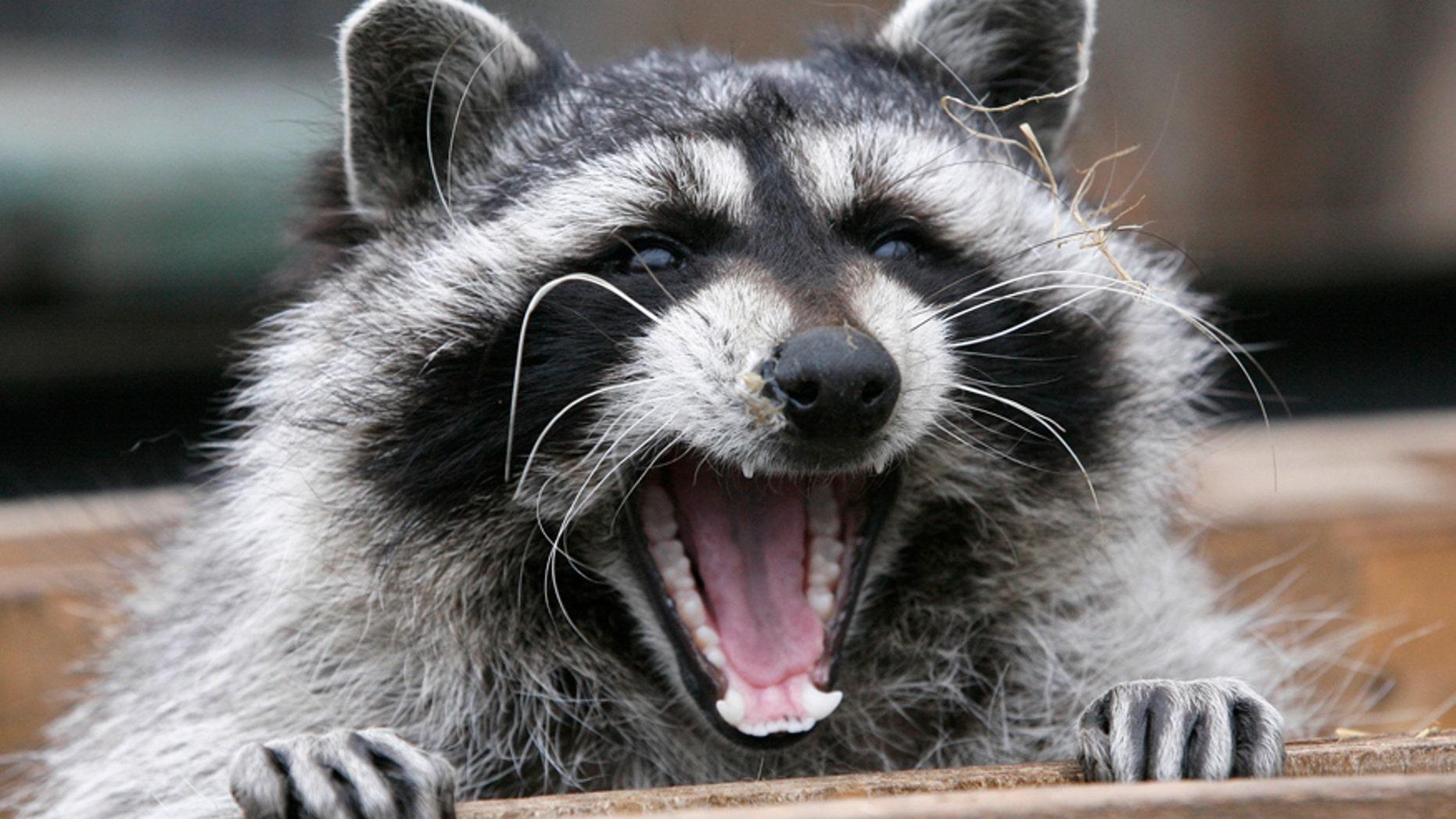 Masha, a female raccoon, yawns in her wooden refuge inside an open-air cage where she hibernates at the Royev Ruchey zoo in Krasnoyarsk, November 20, 2013.