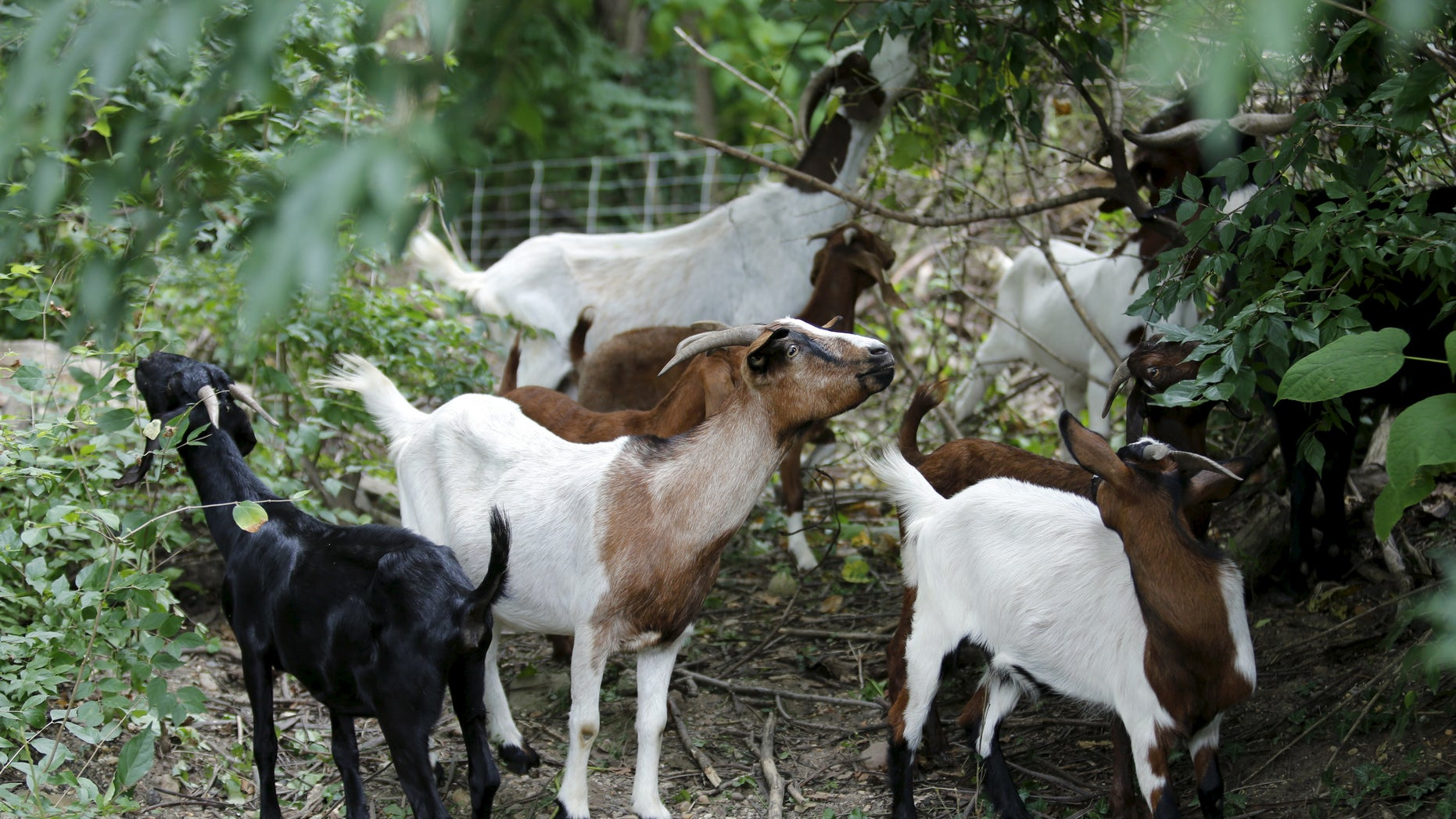 Goats grazing. (Reuters)