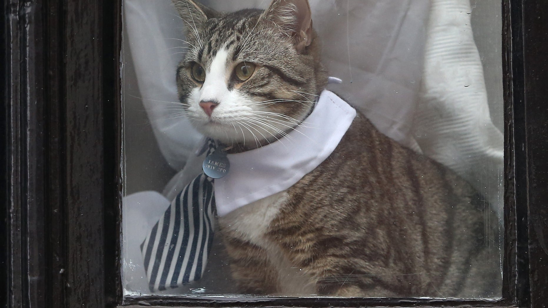 Julian Assange's cat sits in the window of Ecuador's embassy in London on Tuesday.