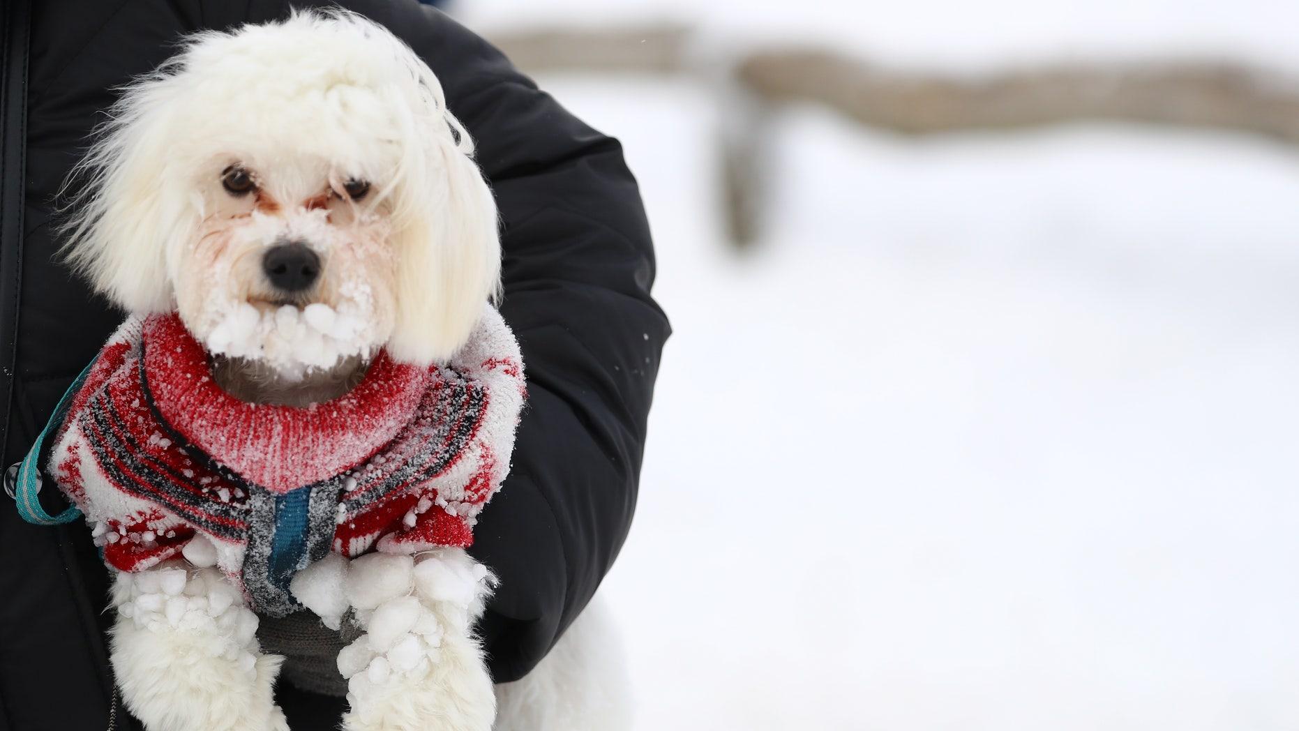 A dog is covered with snow at Feldberg mountain near Frankfurt, Germany, January 5, 2017. (REUTERS/Kai Pfaffenbach)
