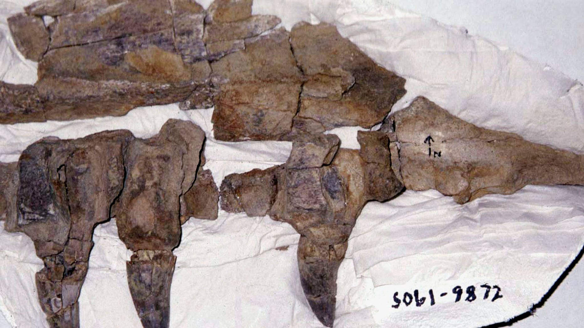 File photo: The upper jaw of a mosasaur is shown in an undated hand out photo, one of the many dinosour fossils that was uncovered after an expedition by a US National Science Foundation team in 1998 to the remote Antartica Peninsular and nearby islands.