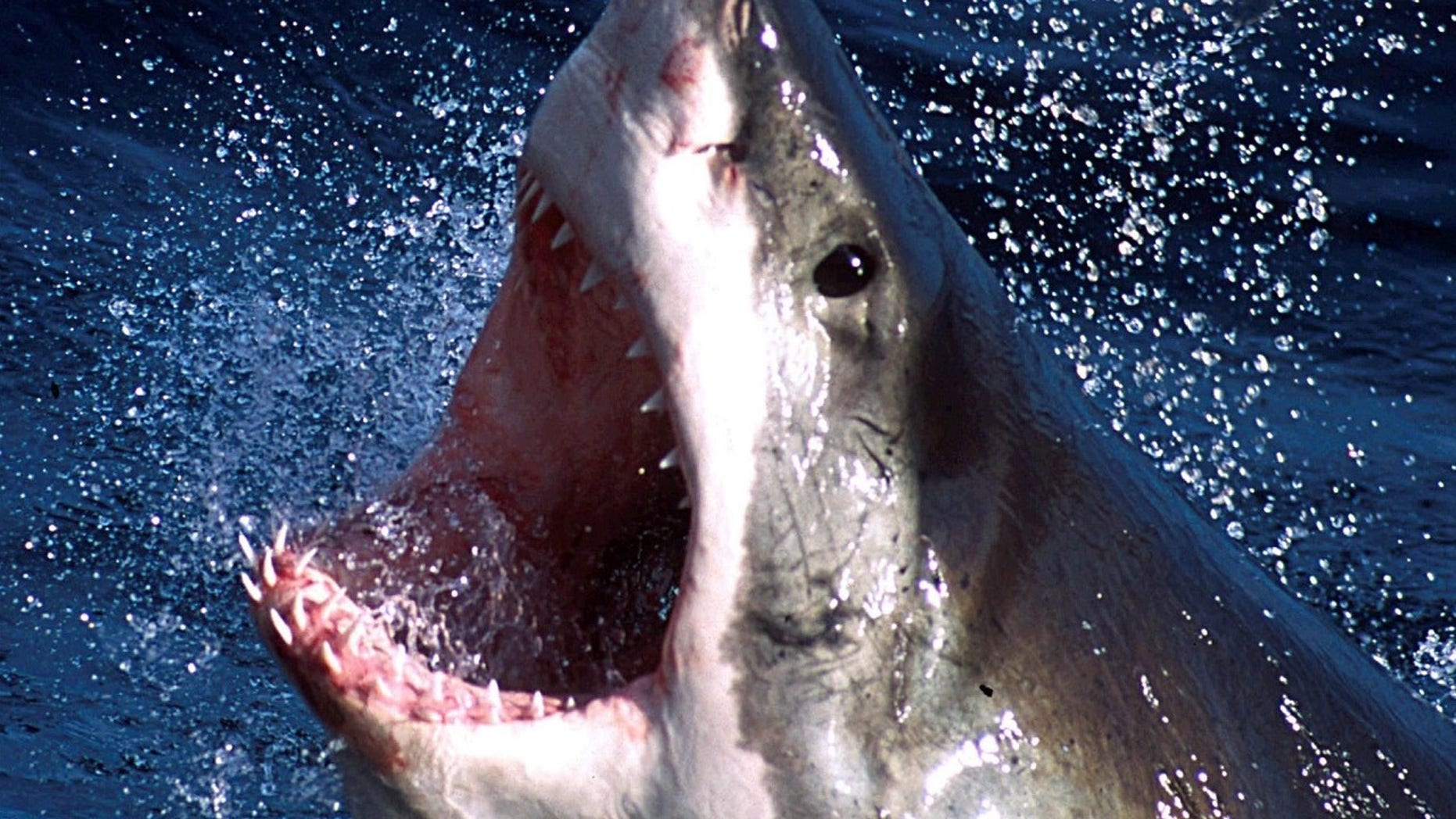 """A shark, believed to be a great white, attacked a teenage girl in Australia (not pictured). She described the moment as like a scene from """"Jaws."""""""