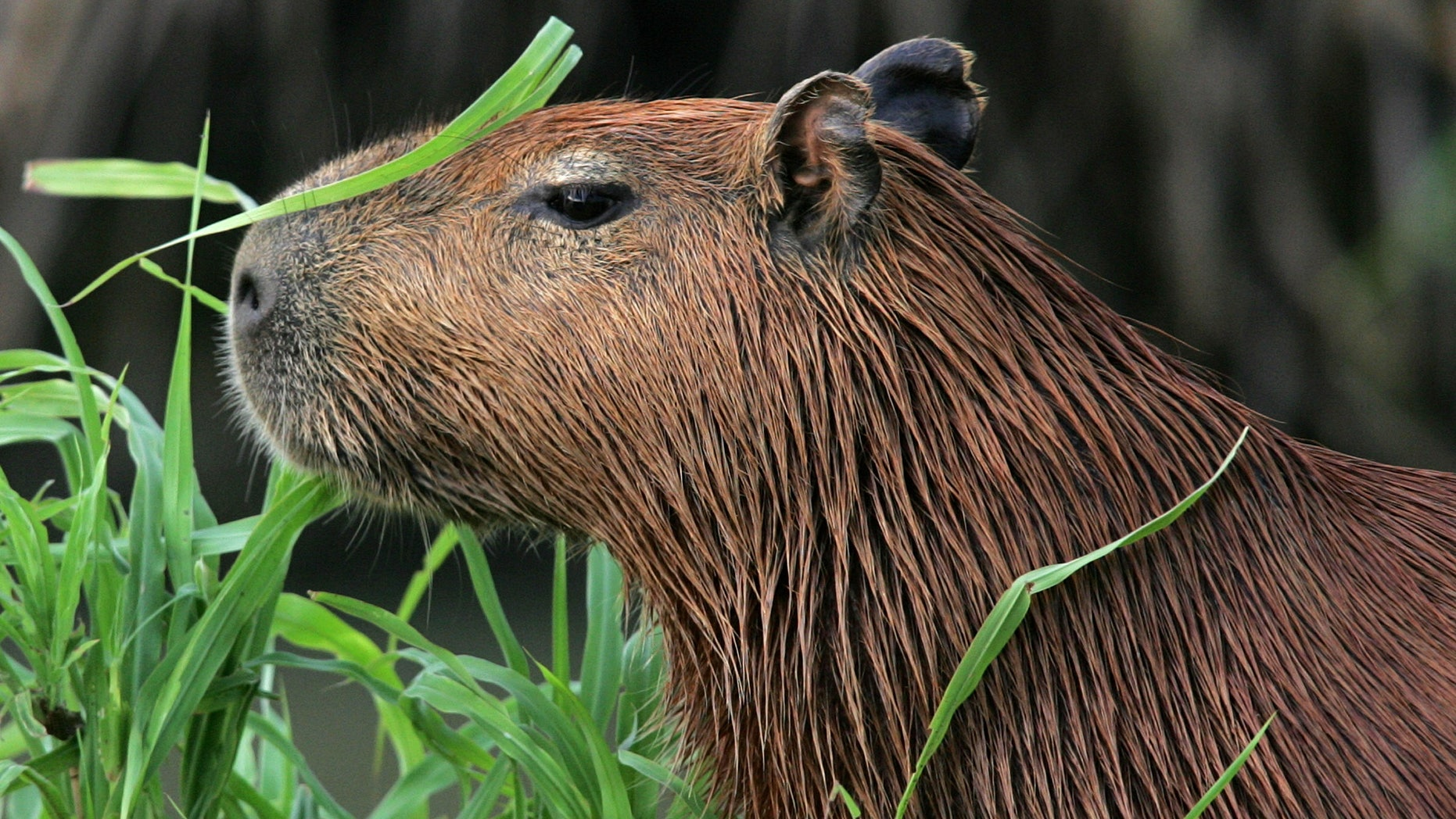 A capybara or Hydrochoerus Hydrochaeris, a semi-aquatic and the biggest rodent of the world, waits in Hato Pinero, 370 km (229 miles) west of [Caracas], May 3, 2005.  [Venezuela's best-known eco-tourism reserve and cattle ranch is fighting for its survival against Venezuelan government land reform. The Hato Pinero, a private 200,000-acre (80,000 hectare) property was declared as being public land and subject to confiscation after President Hugo Chavez's government made it a target for takeover to redistribute rural land to the poor.] - RTXNG64