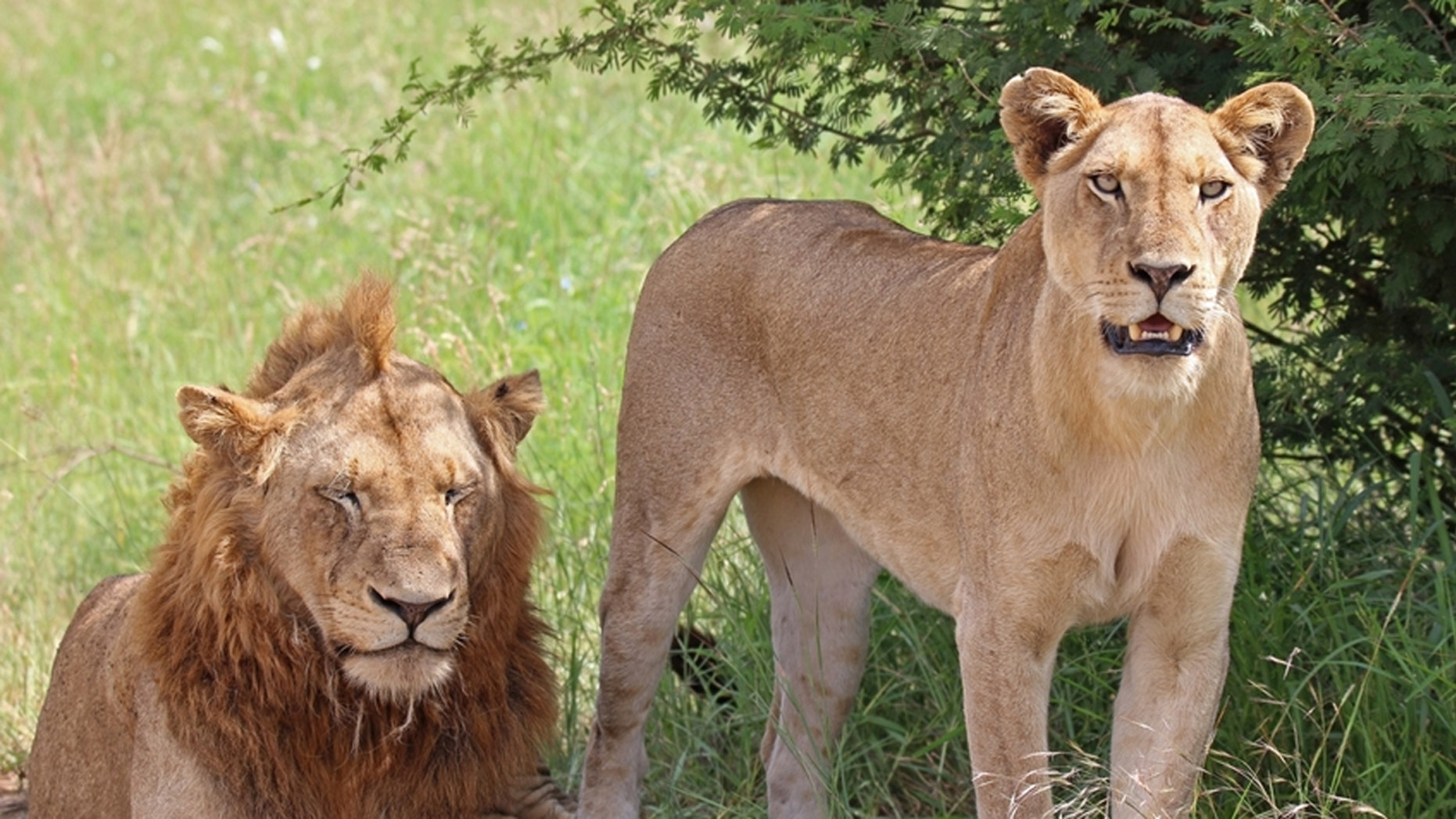 A pair of lions was able to escape their enclosure at zoological exhibit in germany.