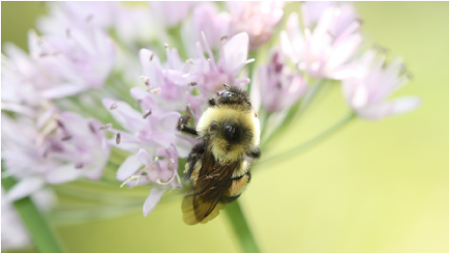 The rusty patched bumblebee is on the verge of extinction, officials warn.