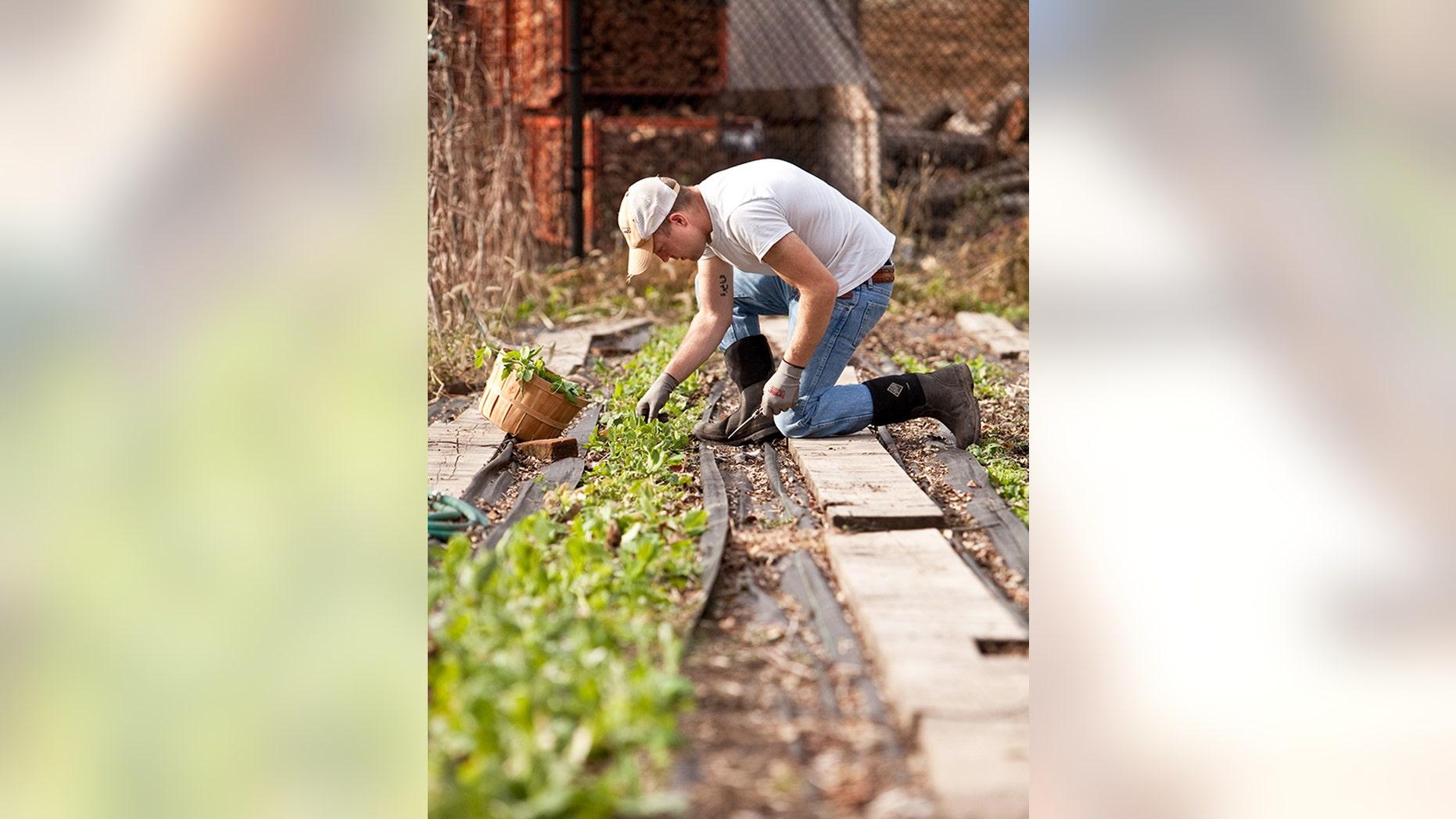 Marine veteran Matt Soldano harvests pea shoots on his farm, Southtown Farms, in Blairstown, New Jersey.