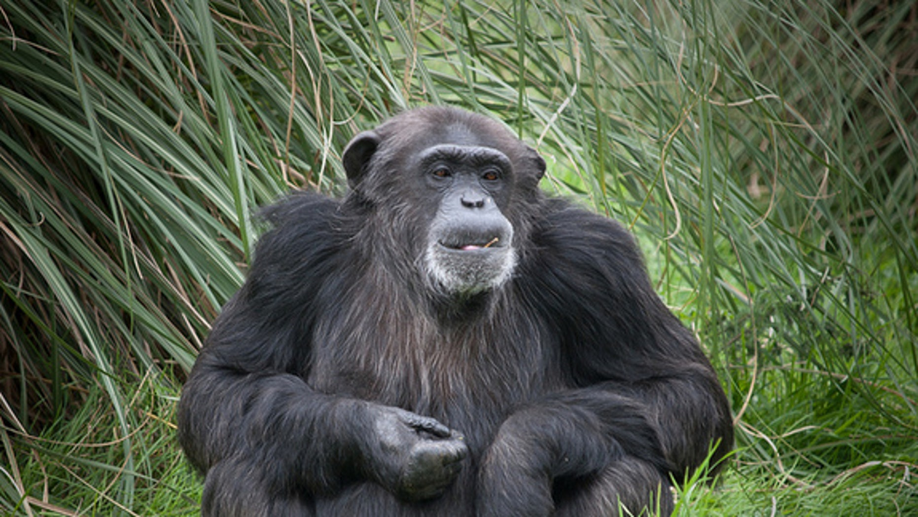 Chimpanzees and orangutans go through a midlife dip in happiness, new research suggests.