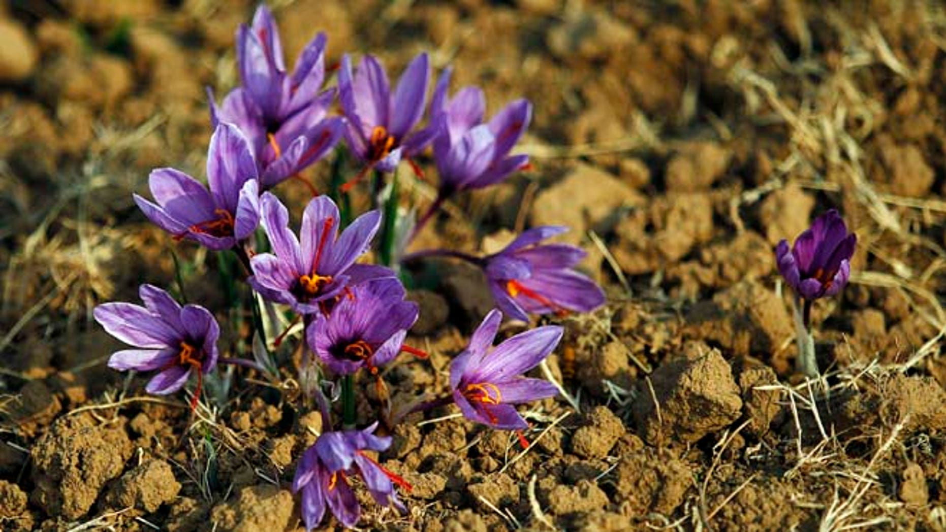 Nov. 1, 2012: Saffron flowers are seen in full bloom at a field in Pampore, 9 miles south of Srinagar.