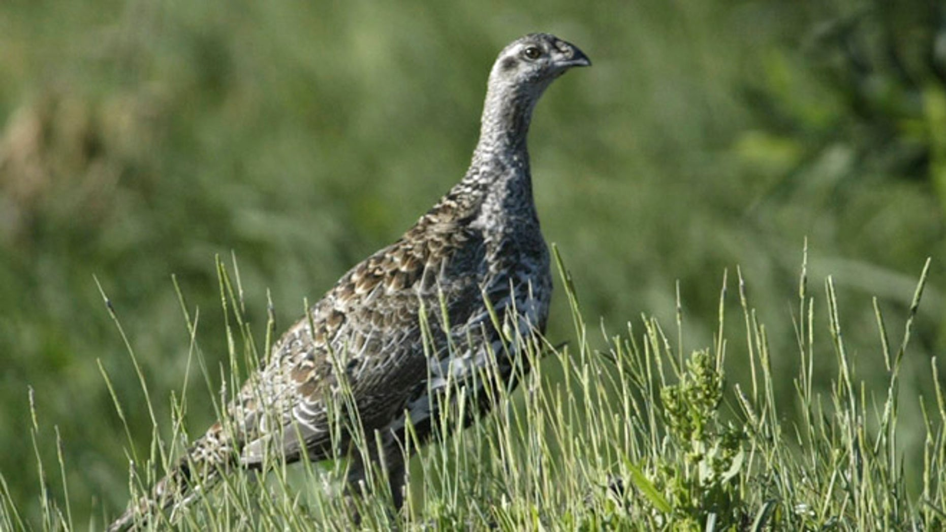 July 25, 2005: In this file photo, a sage grouse stands in a meadow at the Smith Creek Ranch, east of Fallon, Nev. (AP)