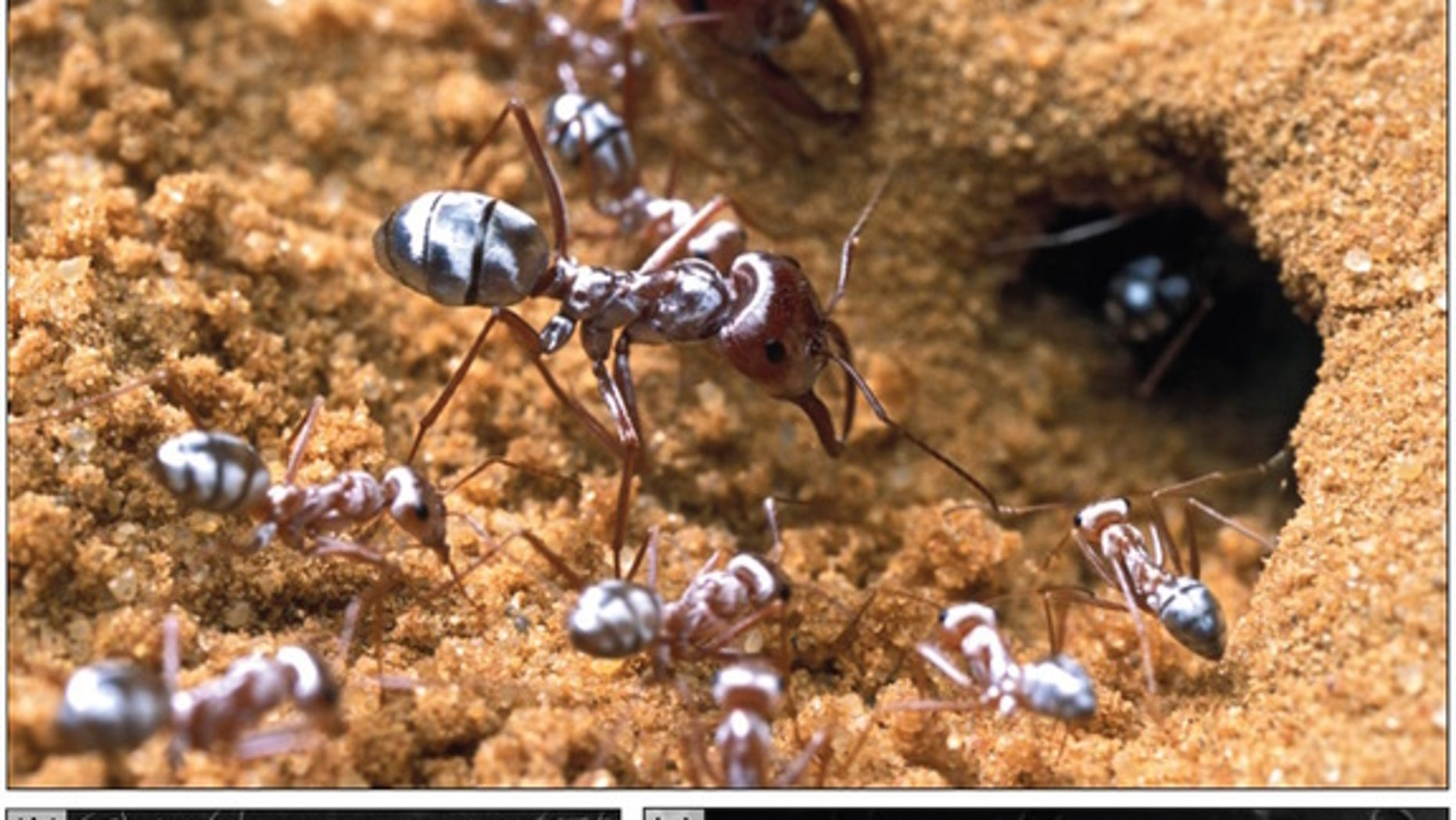Saharan silver ants sport a body full of silvery hairs that act as tiny prisms, reflecting light completely and helping the tiny creatures stay cool in the blistering heat of the Sahara Desert, new research finds.