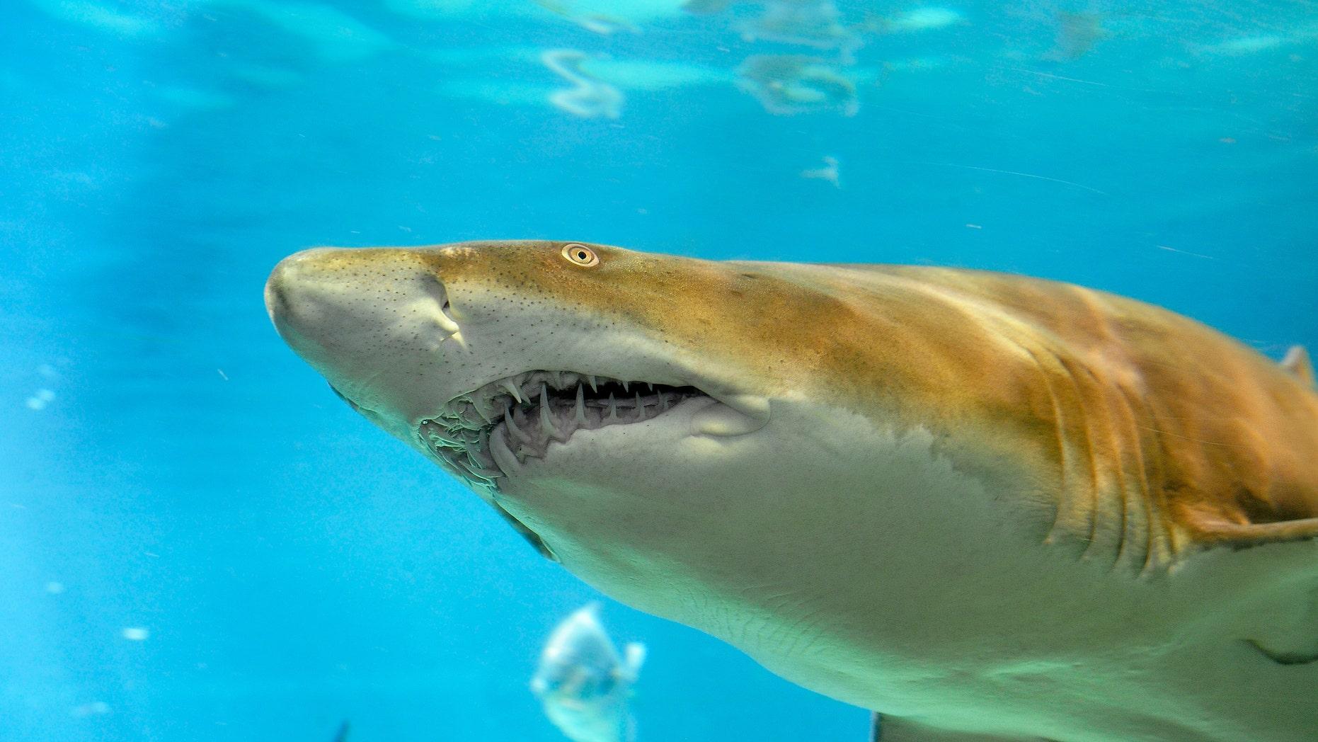 Sand tiger shark (Credit: Julie Larsen Maher)