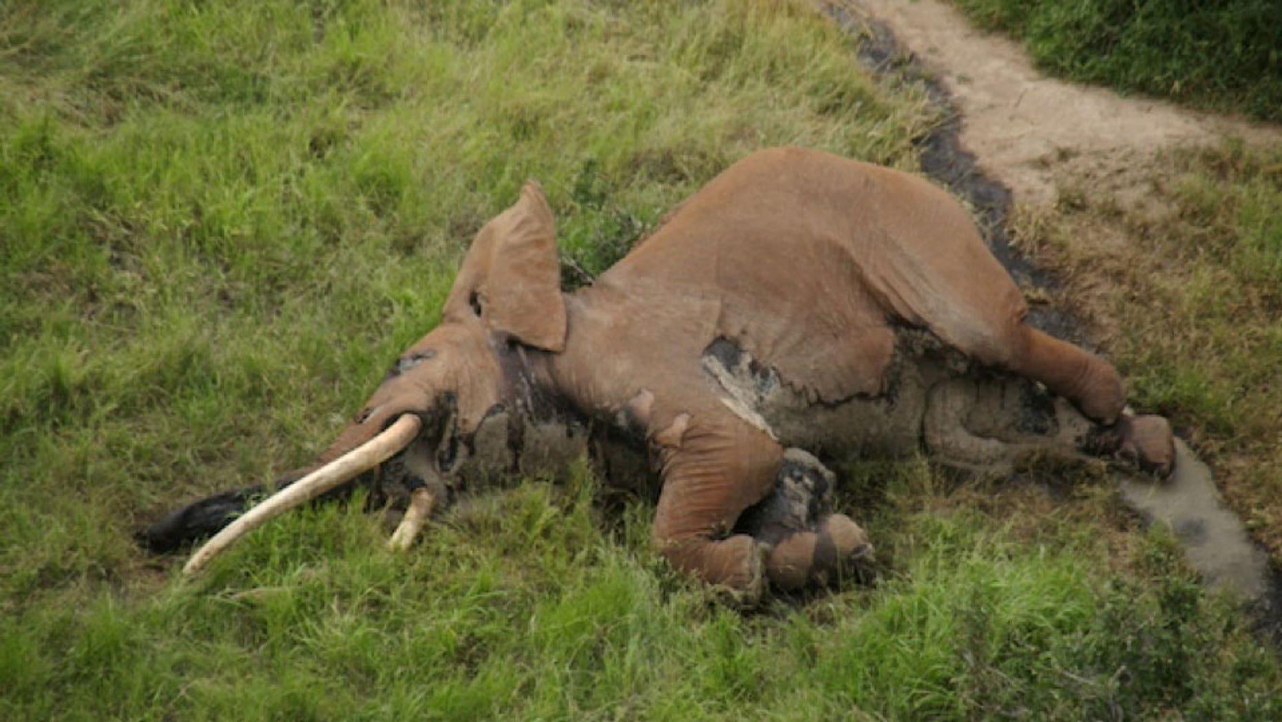 Satao II, a 'giant tusker' elephant was killed by poachers in Kenya, leaving 25 left in the wild.