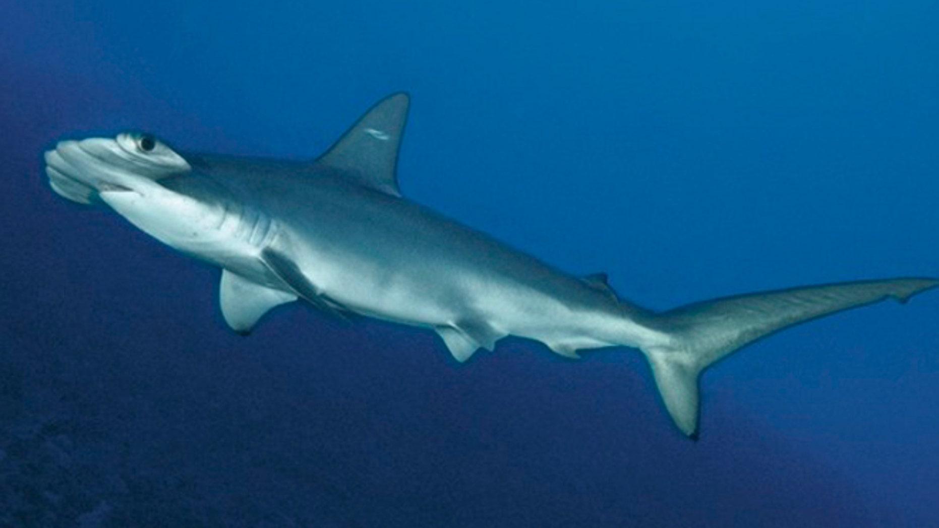 A scalloped hammerhead shark.