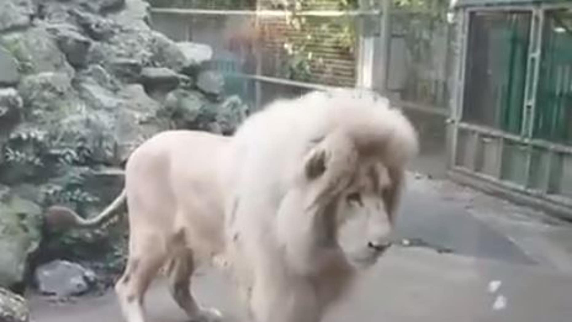 Paradise Wildlife Park in Broxbourne, England posted a video on Facebook showing Moto the lion's scared reaction to the burst bubble.