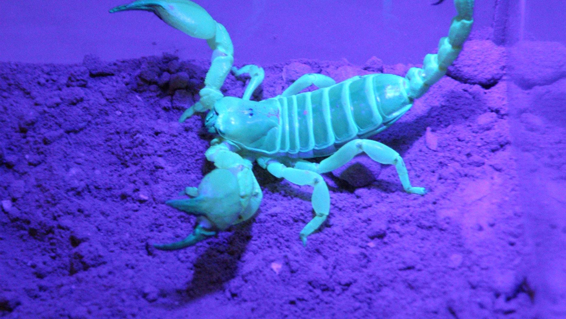A scorpion, Scorpio palmatus, under ultraviolet light.