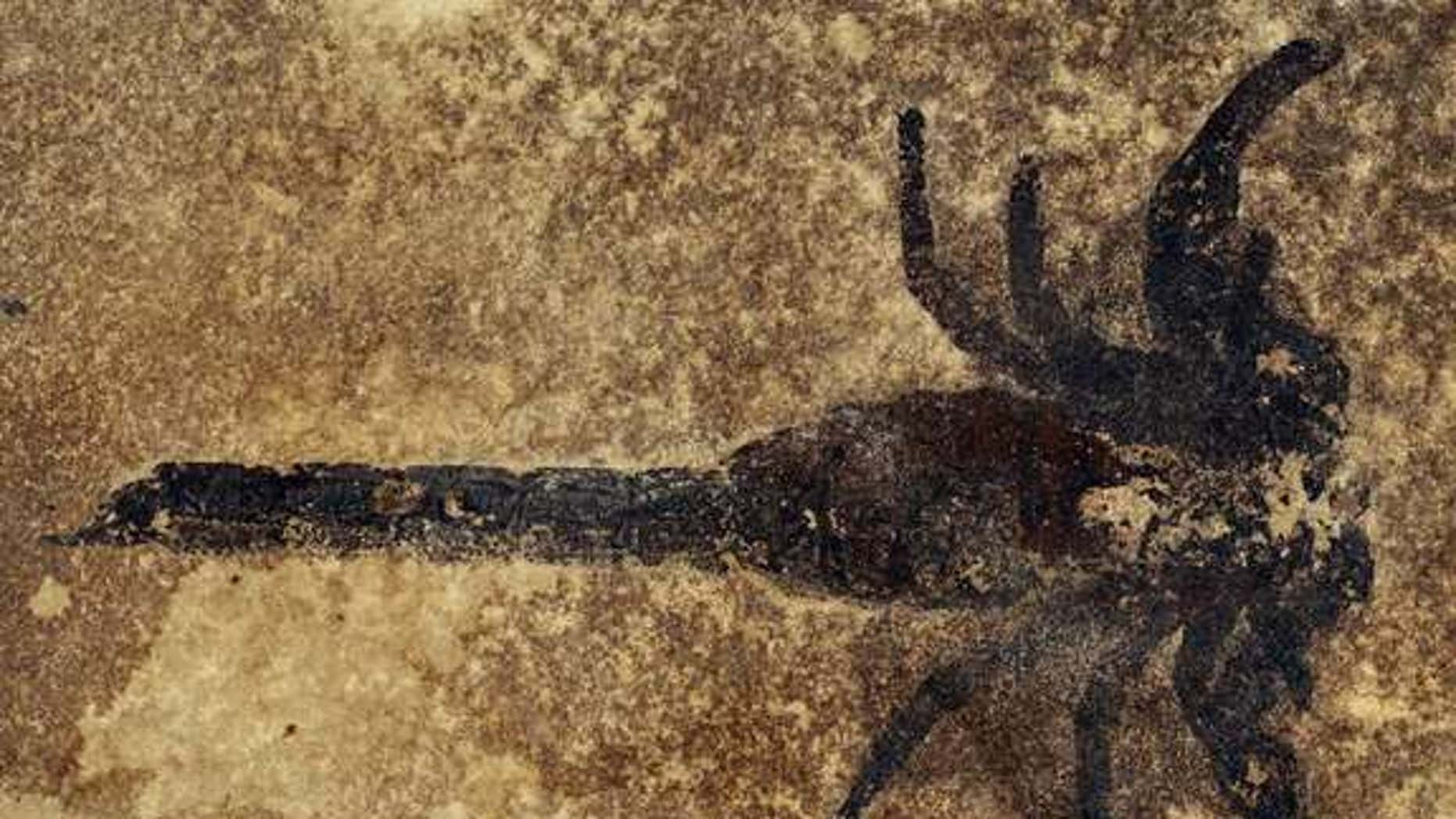A specimen of the new scorpion species Eramoscorpius brucensis, which lived about 430 million years ago, making it among the earliest scorpions. The species probably lived in water, but it had feet that would have allowed it to scuttle about on
