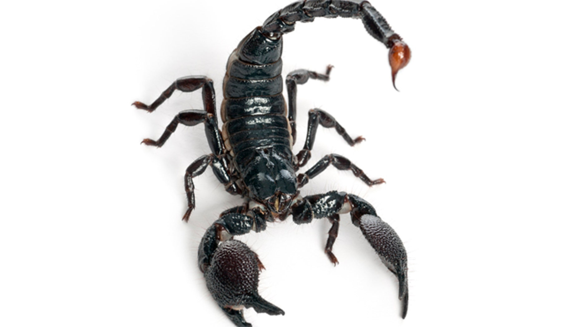 emperor scorpion - Pandinus imperator (1 year old)