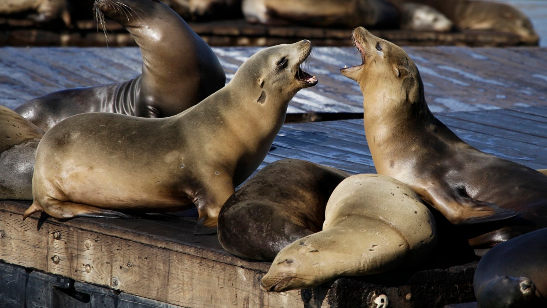 File 2010: Sea lions bark at each other at Pier 39 in San Francisco. Three unusual attacks from the marine animal were reported in city's cove this week.