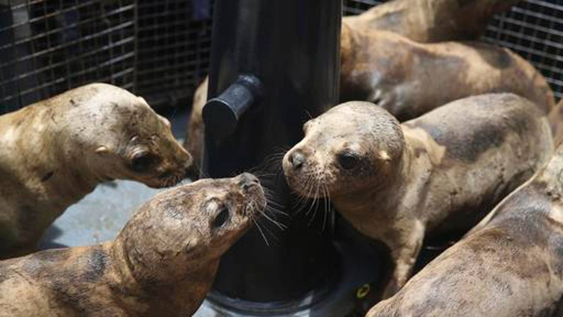 A group of young sea lions are let out of pet carriers before release into their natural habitat, in the coastal waters of the Palomino Islands, Peru, Friday, Oct. 14, 2016. Peru's Organization for Research and Conservation of Aquatic Animals, or ORCA, brought nine sea lions back to health and released them into the sea near a reserve where hundreds of others sea lions live on Friday. Each sea lion is approximately seven months old and had been orphaned on the coast of Lima. (AP Photo/Martin Mejia)
