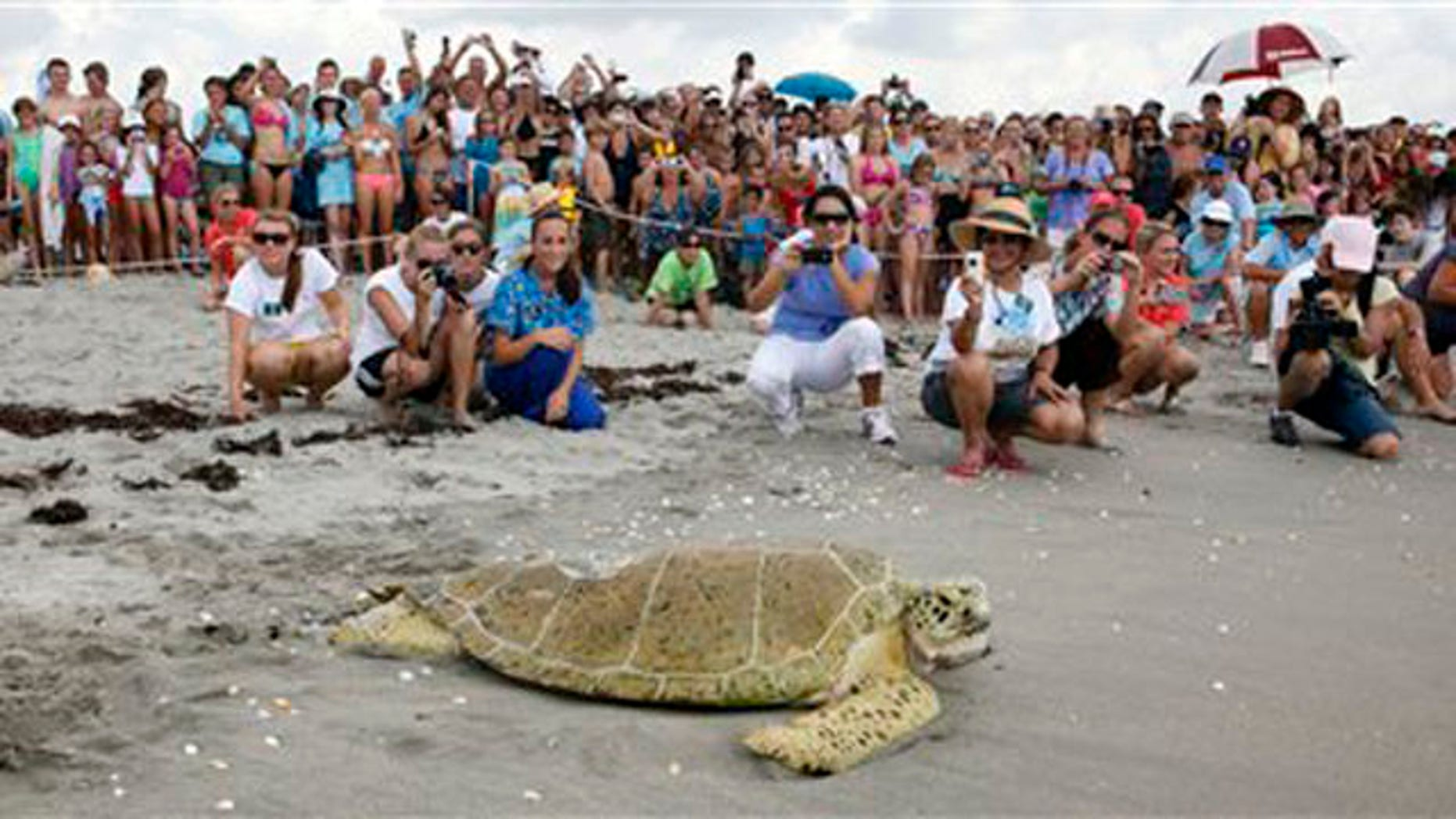 Crowds cheer as Andre the sea turtle is released back into the sea.