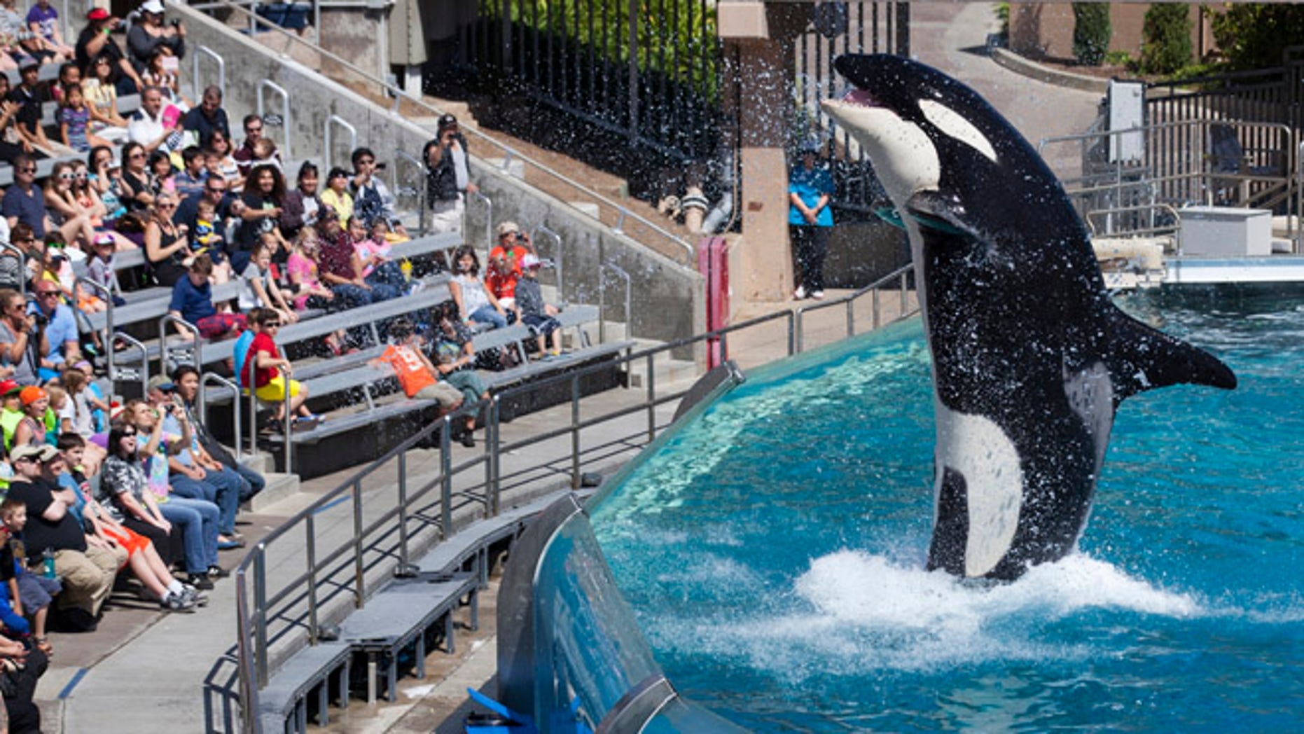 FILE 2014: Visitors are greeted by an Orca killer whale as they attend a show featuring the whales during a visit to the animal theme park in San Diego.