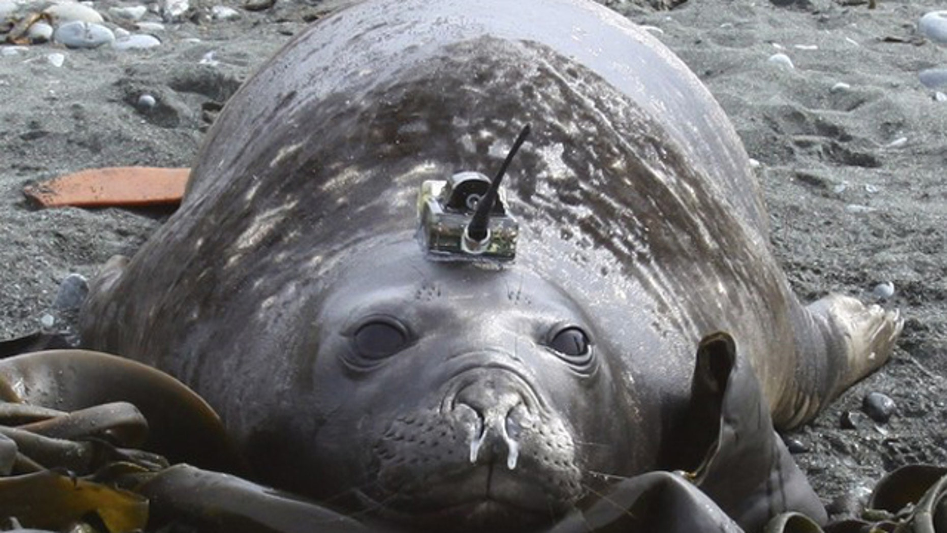 An elephant seal is seen fitted with a sensor device used to monitor where it hunts and eats, and to measure temperature, salinity and pressure of the ocean during deep dives for food in this undated handout photograph taken in an undisclosed location and released October 15, 2010. Scientists are outfitting elephant seals and self-propelled water gliders with monitoring equipment to unlock the oceans' secrets.