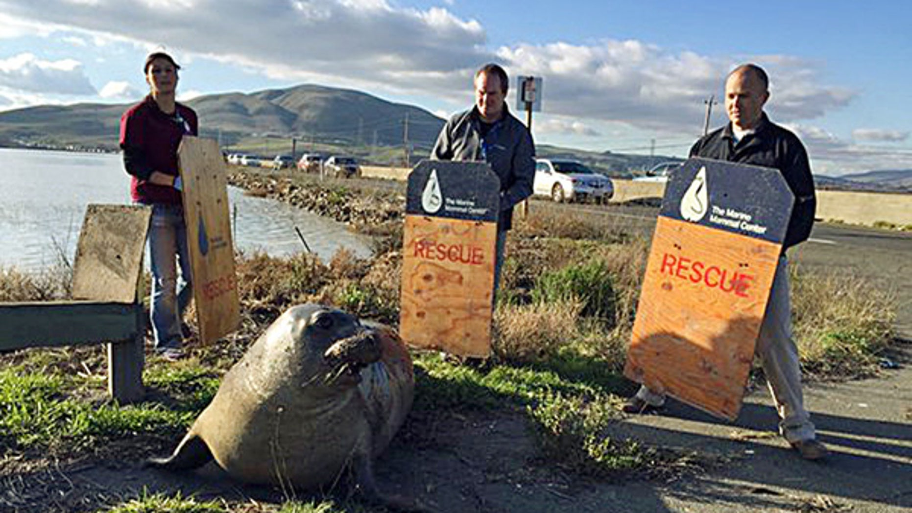 Dec. 28, 2015: n this photo provided by the California Highway Patrol, wildlife experts from the Marine Mammal Center in Sausalito attempt to corral an elephant seal that repeatedly tried to cross a highway, slowing traffic in Sonoma, Calif.