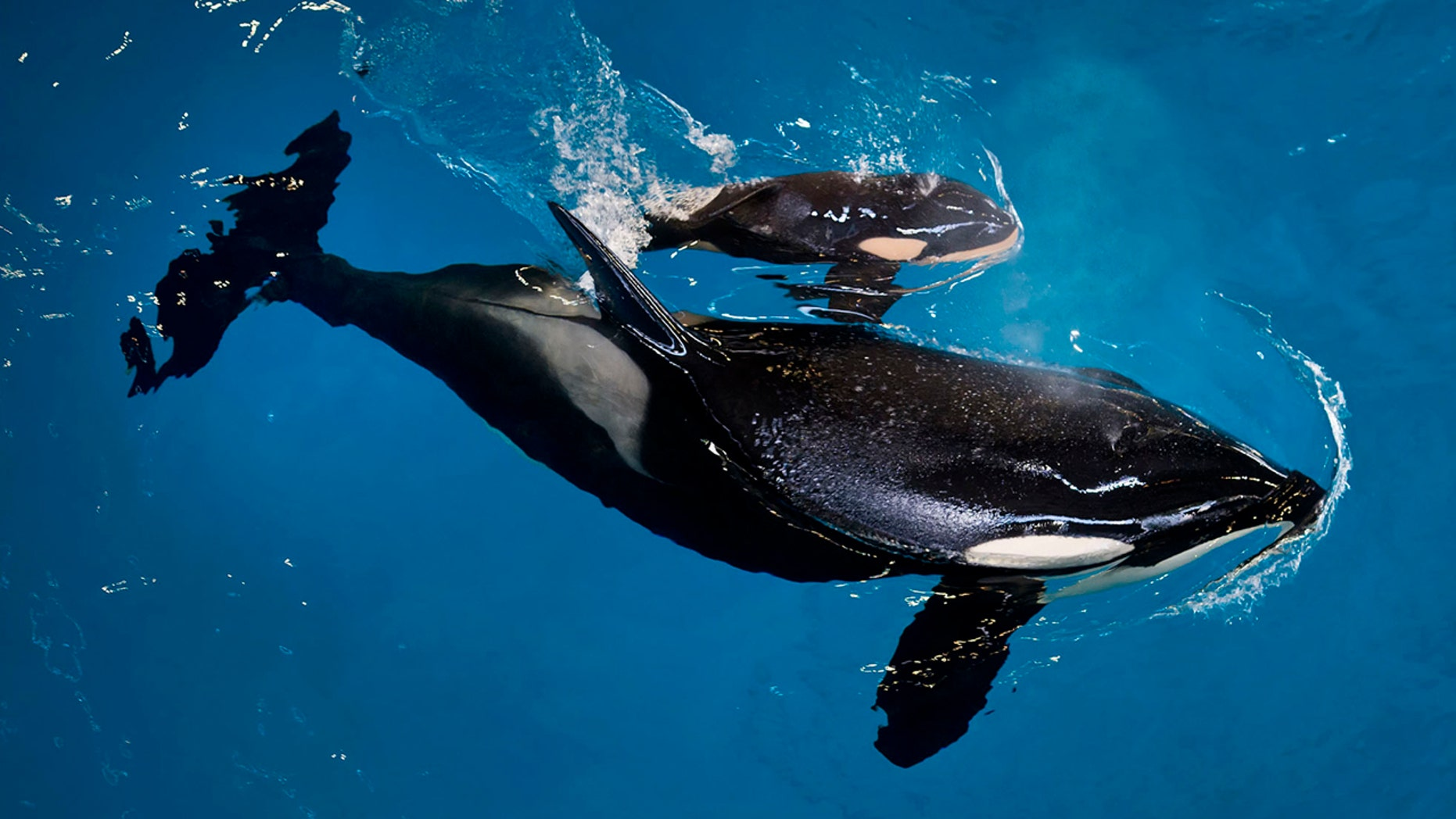 In this image provided by SeaWorld Parks & Entertainment orca Takara helps guide her newborn to the water's surface at SeaWorld San Antonio, Wednesday, April 19, 2017, in San Antonio.