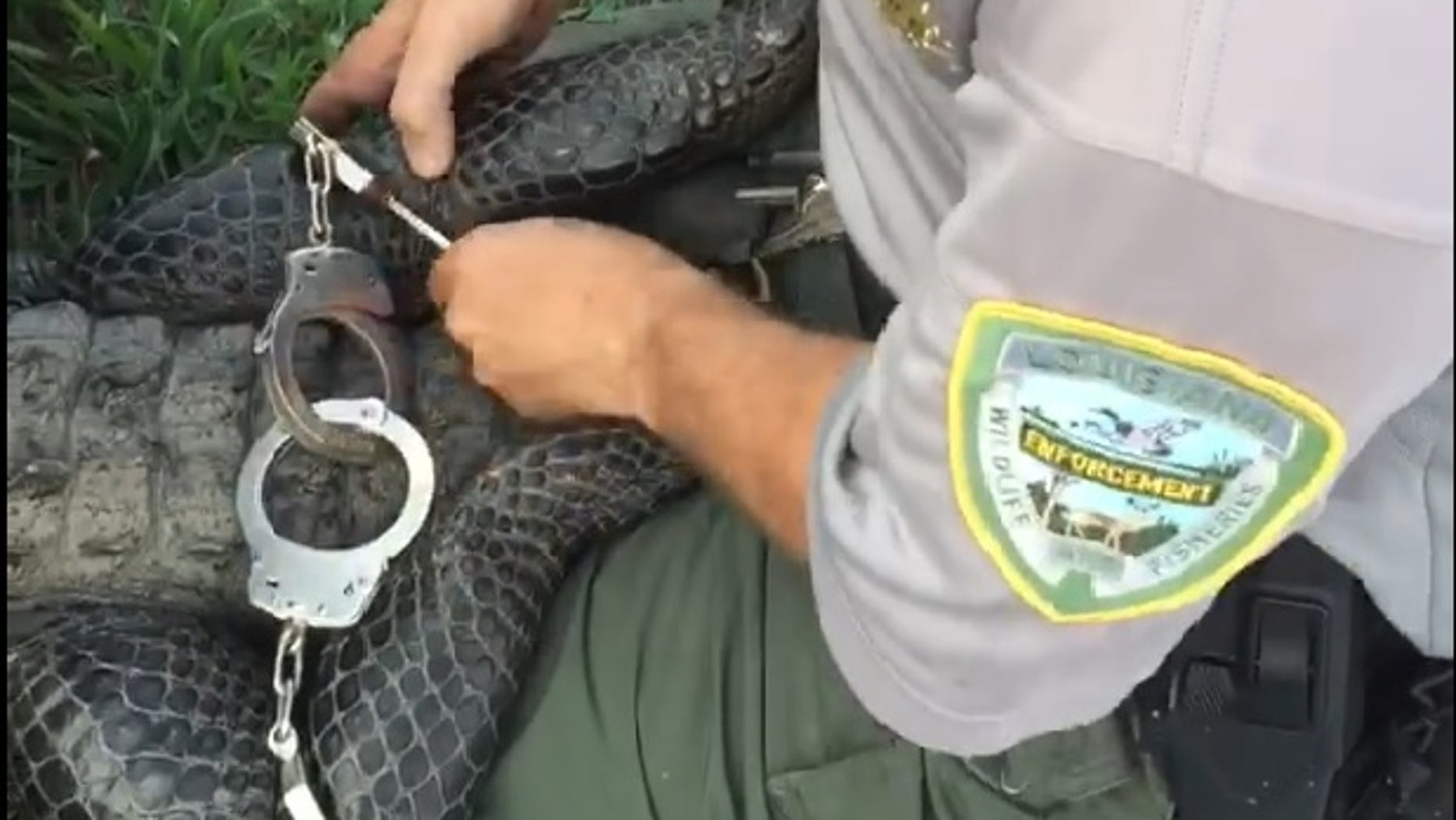 A wildlife agent handcuffs an alligator in Louisiana so it will not escape.