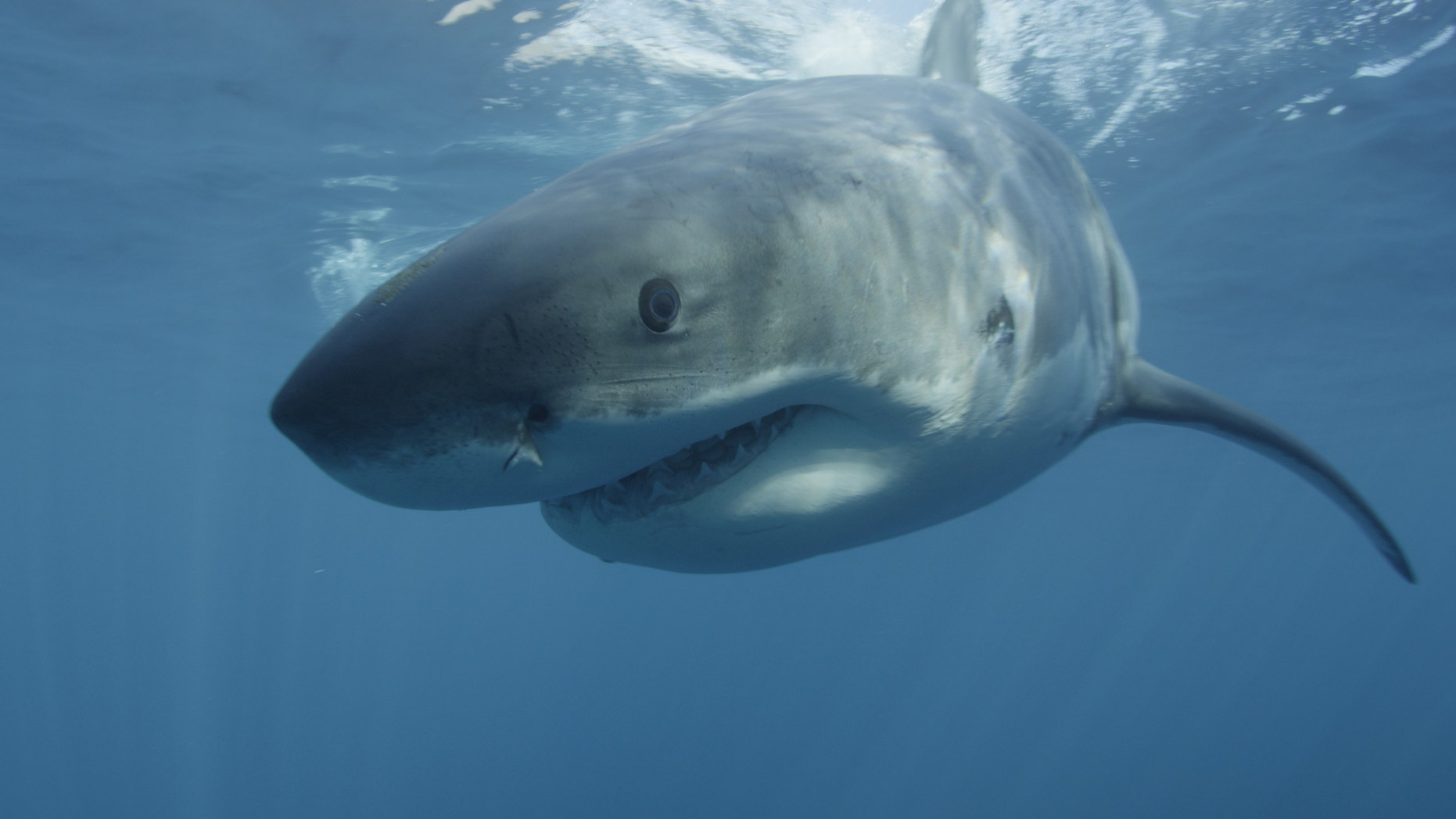 A large Great white shark cruises past the underwater cameraman at Guadalupe Island off the coast of Mexico.