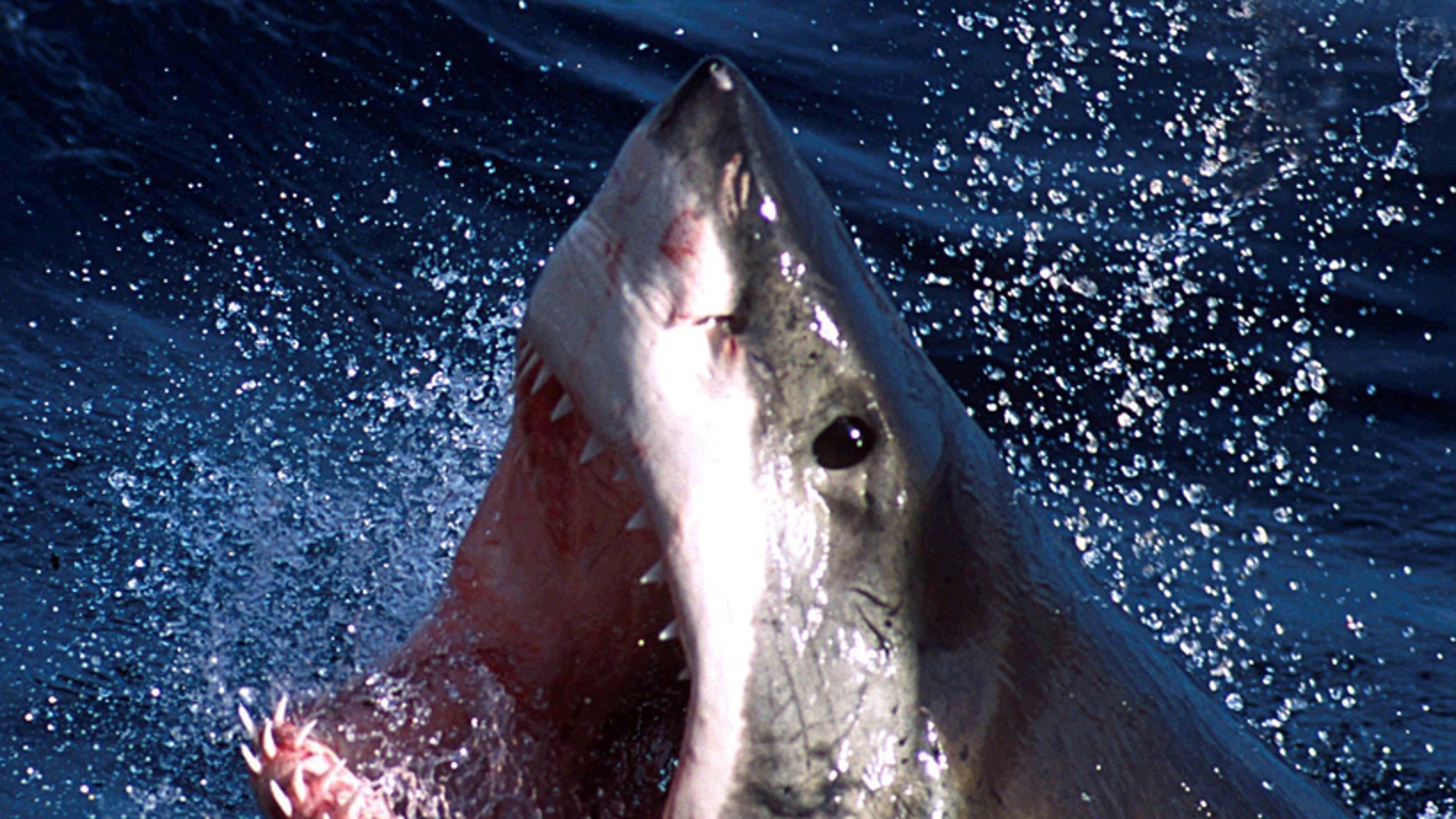 File photo: An undated photo of a Great White shark. (Credit : REUTERS/Seachangetechnolgy)