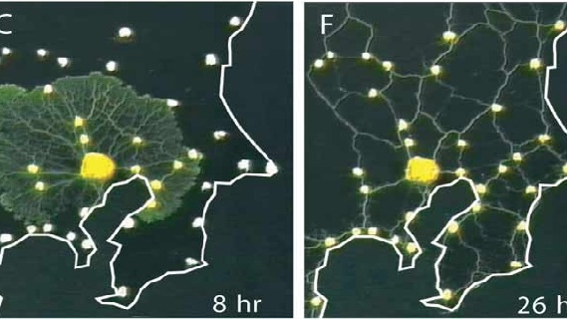 In a recent experiment, slime mold grew out from a food source and colonized each of the other food sources. Eventually, it resolved into a network of tubes, much like the Tokyo rail system. Credit: Science/AAAS