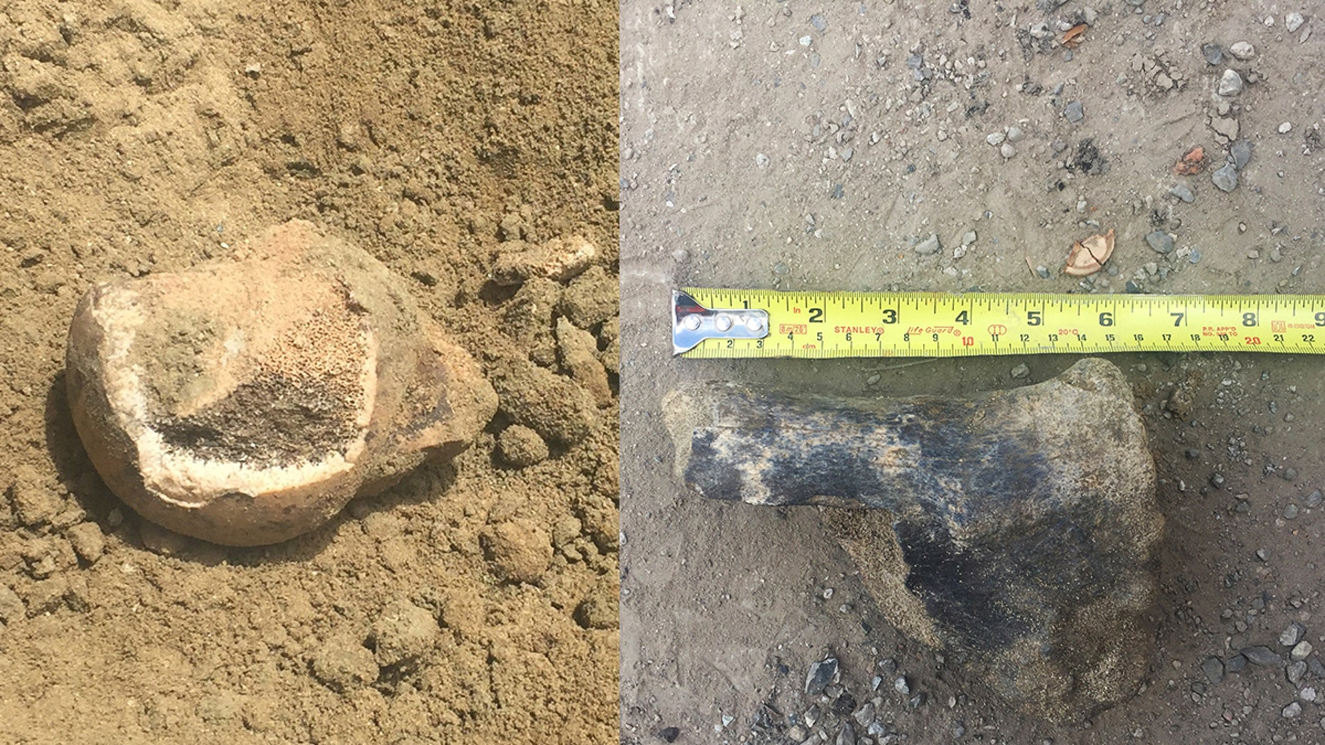 A transit project in L.A. recently unearthed fossils from long-extinct ice age animals — a femur head from a giant ground sloth (left) and part of a leg bone from a bison (right).