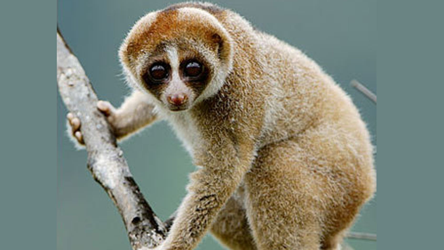 """The newly discovered slow loris primate (<em>Nycticebus kayan</em>) has a furry """"face mask"""" distinct from other slow loris species."""