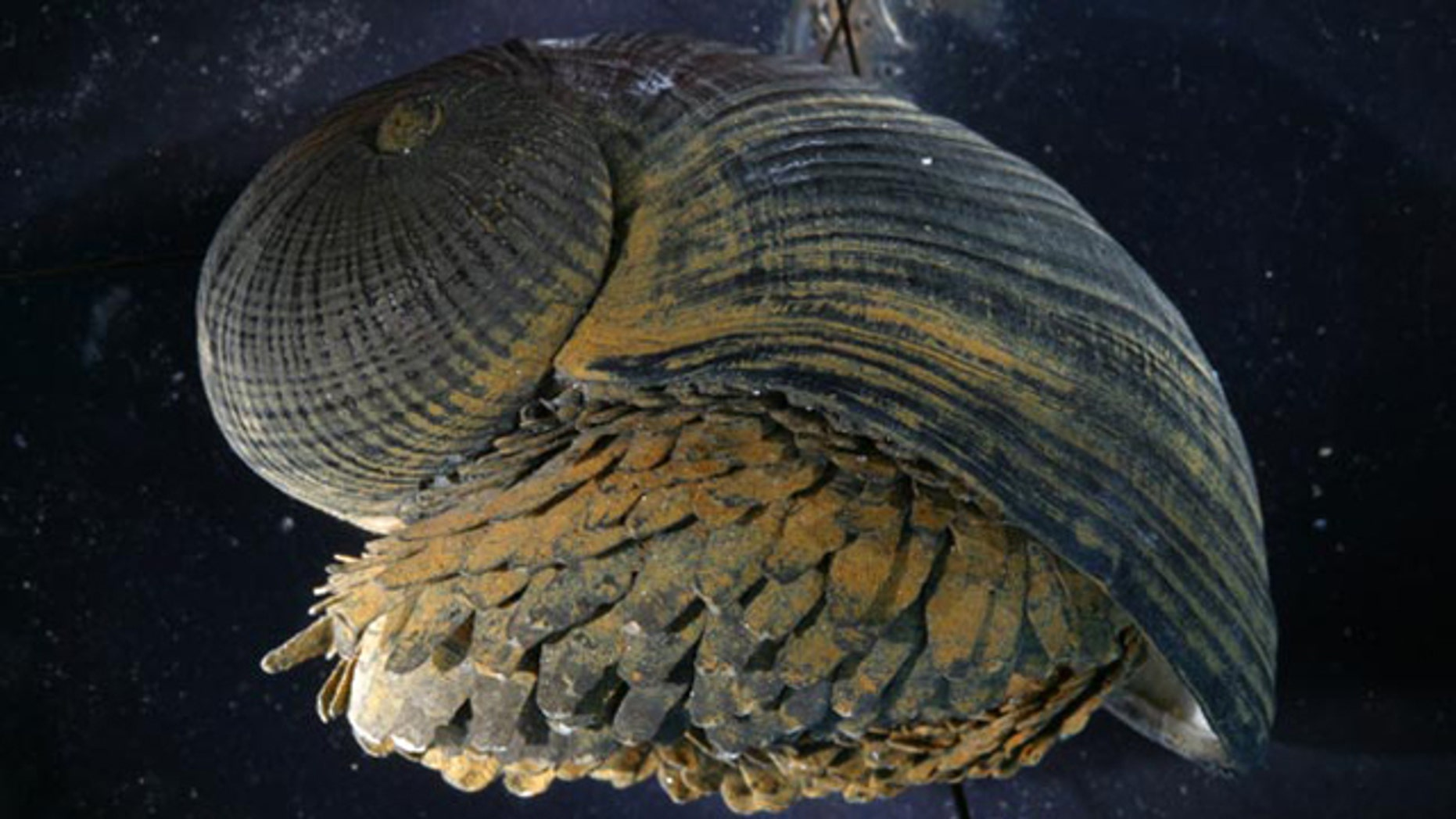 "The shell of the ""scaly-foot"" snail, shown here, has a unique structure that may provide clues for designing improved body armor, a new study suggests."