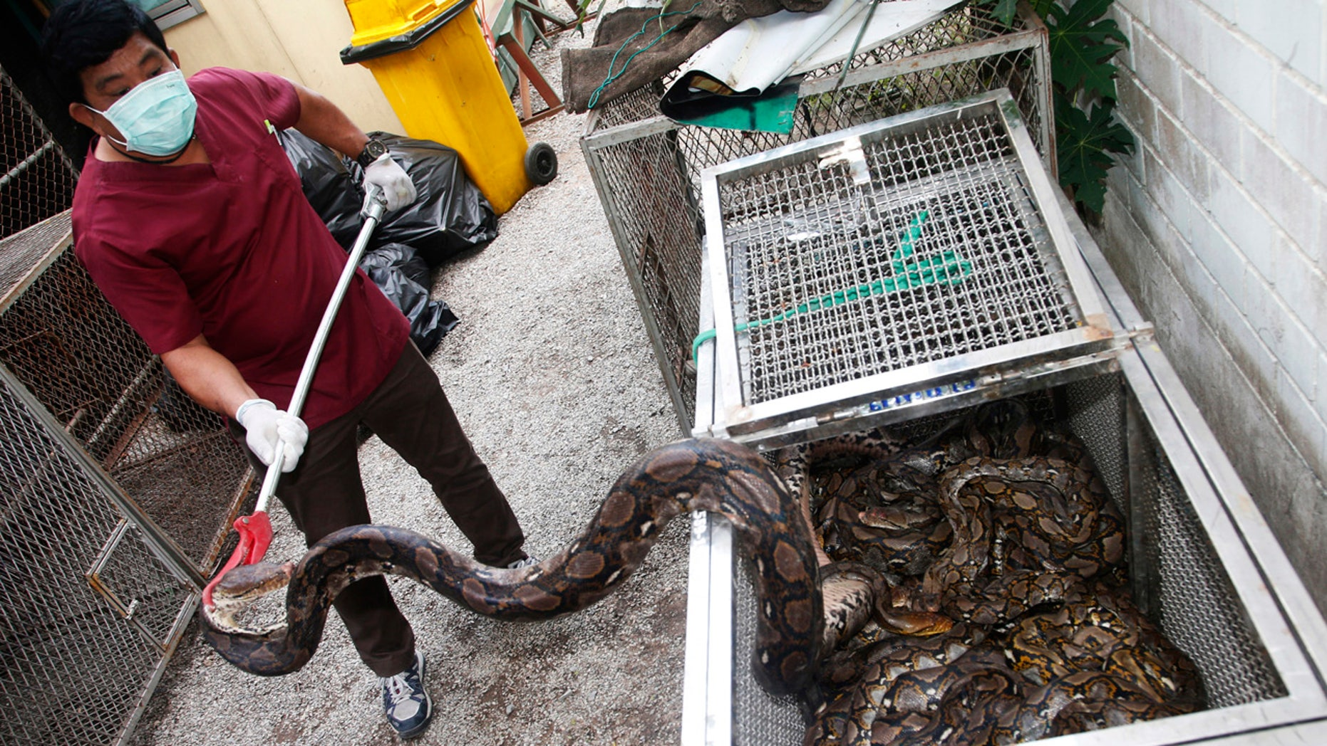 In this Nov. 2, 2017, photo, an officer of Department of National Parks and Wildlife prepares python in Bangkok, Thailand to release in the wild.